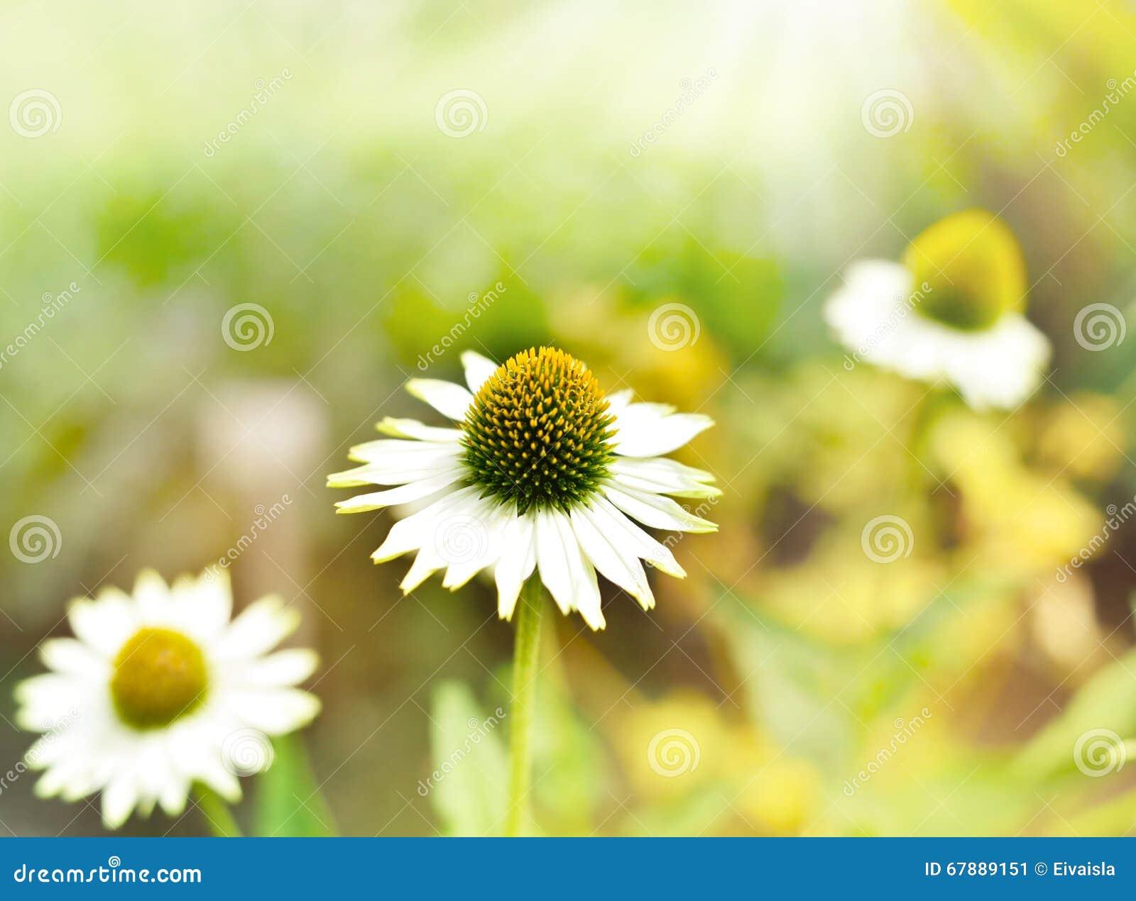 狂放的延命菊或coneflower在阳光下