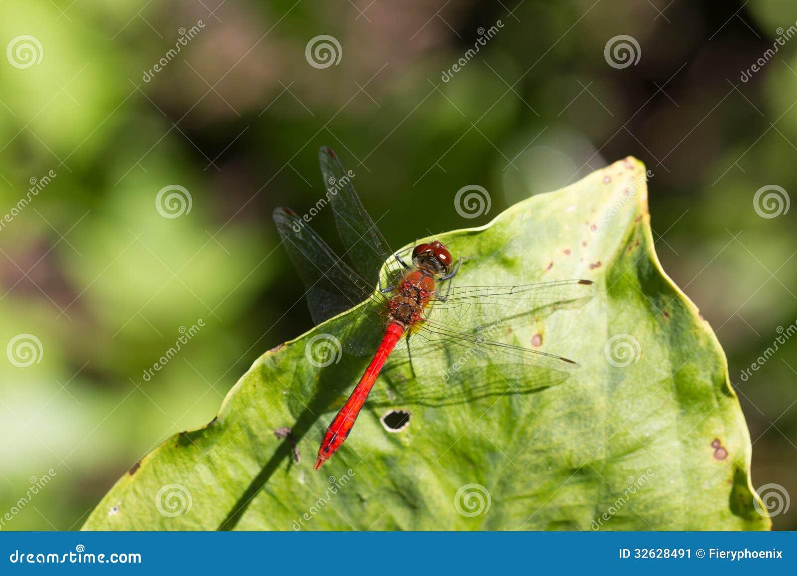 狂放的黄色黑红色蜻蜓anax imperator Sympetrum Fonscol