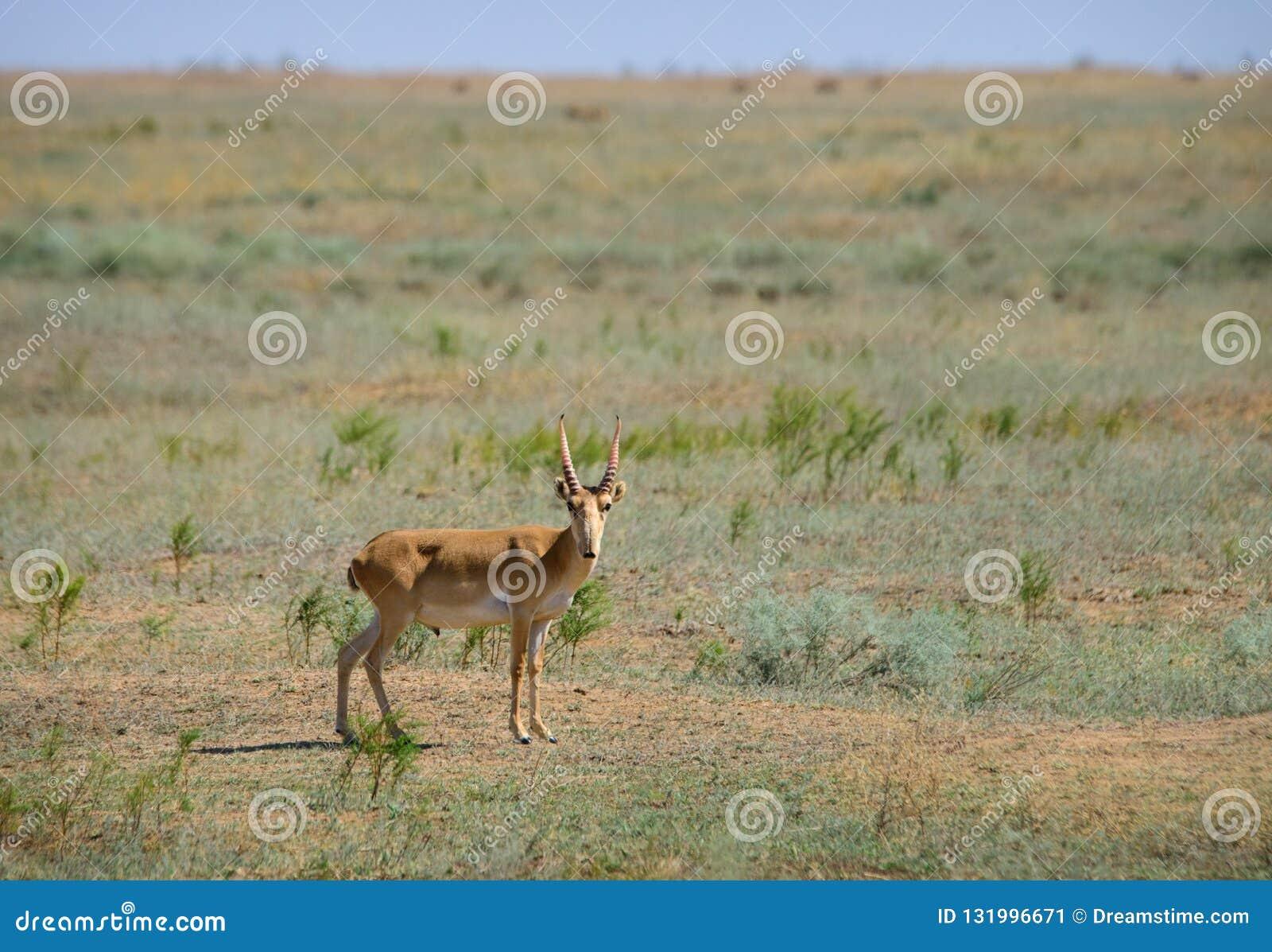 狂放的saiga羚羊saiga tatarica
