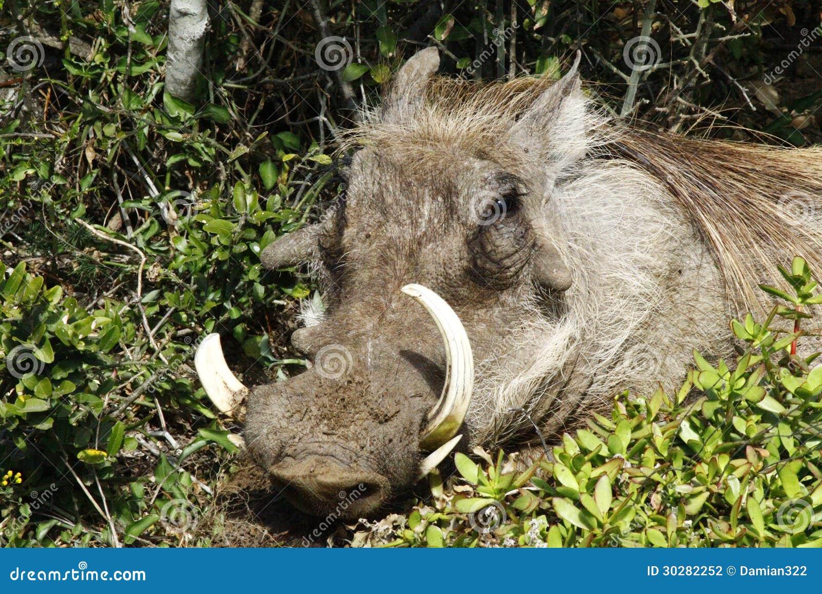 Warthog画象