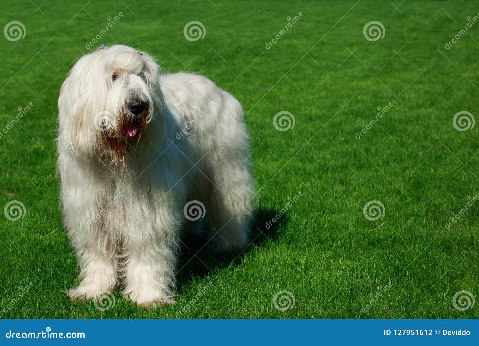 狗品种南俄国护羊狗