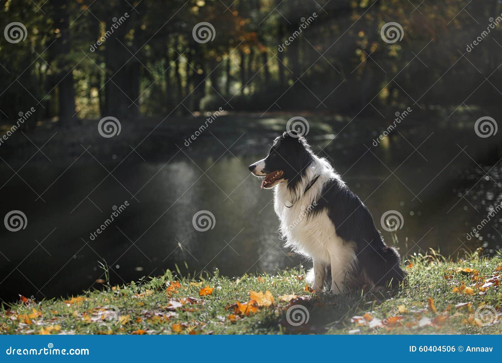 狗品种博德牧羊犬