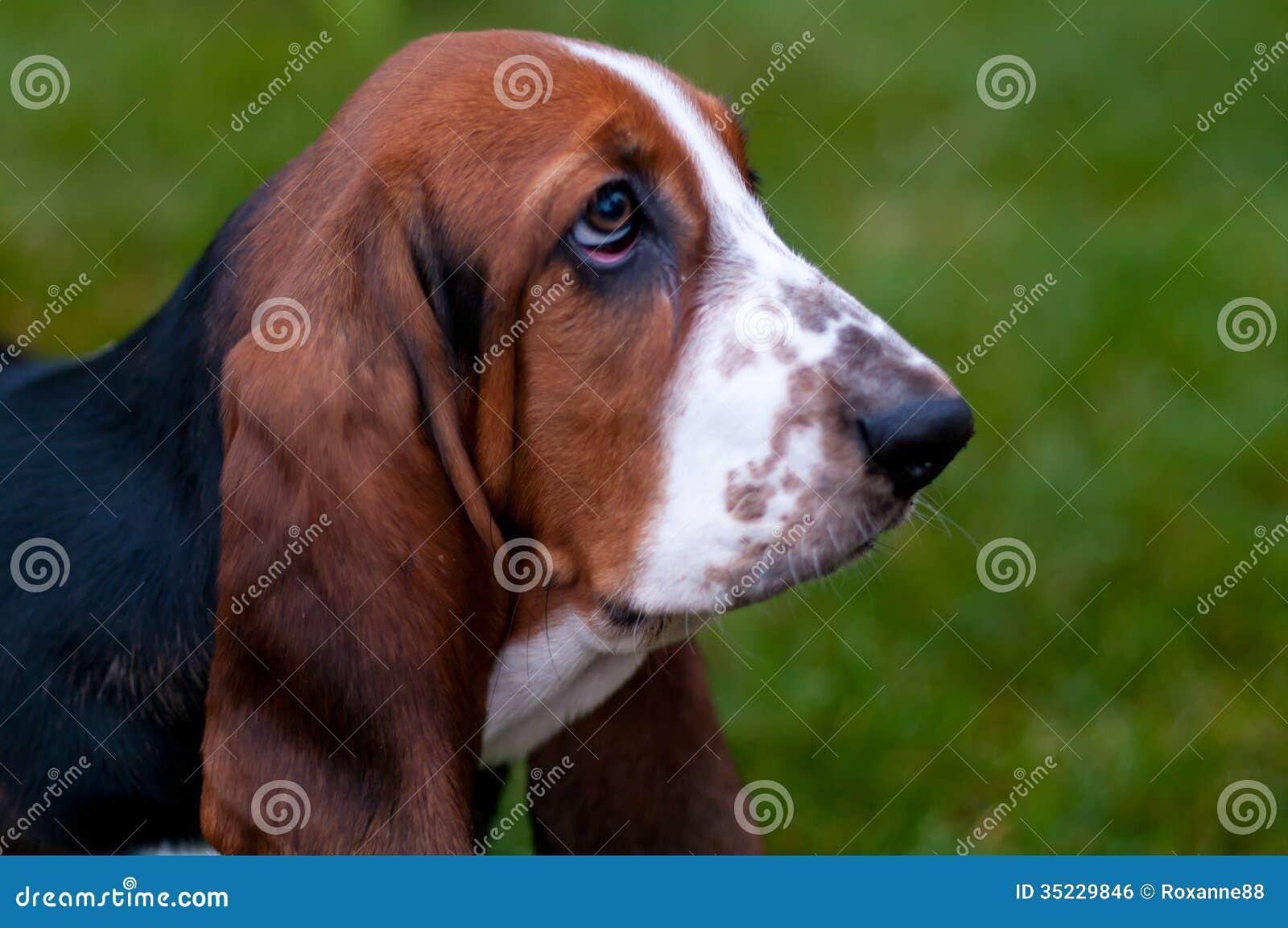 狗品种贝塞猎狗在绿草