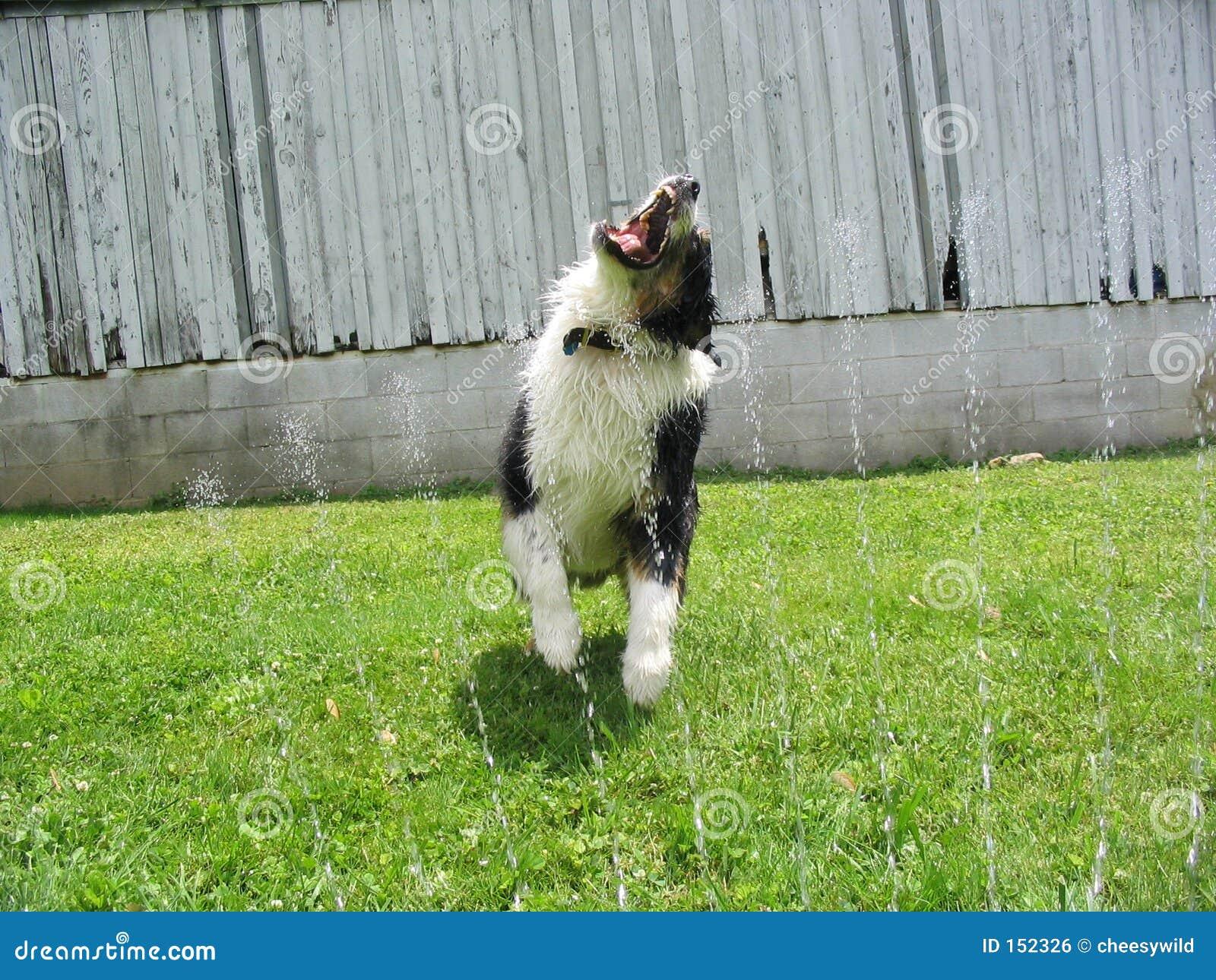 狗喷水隆头