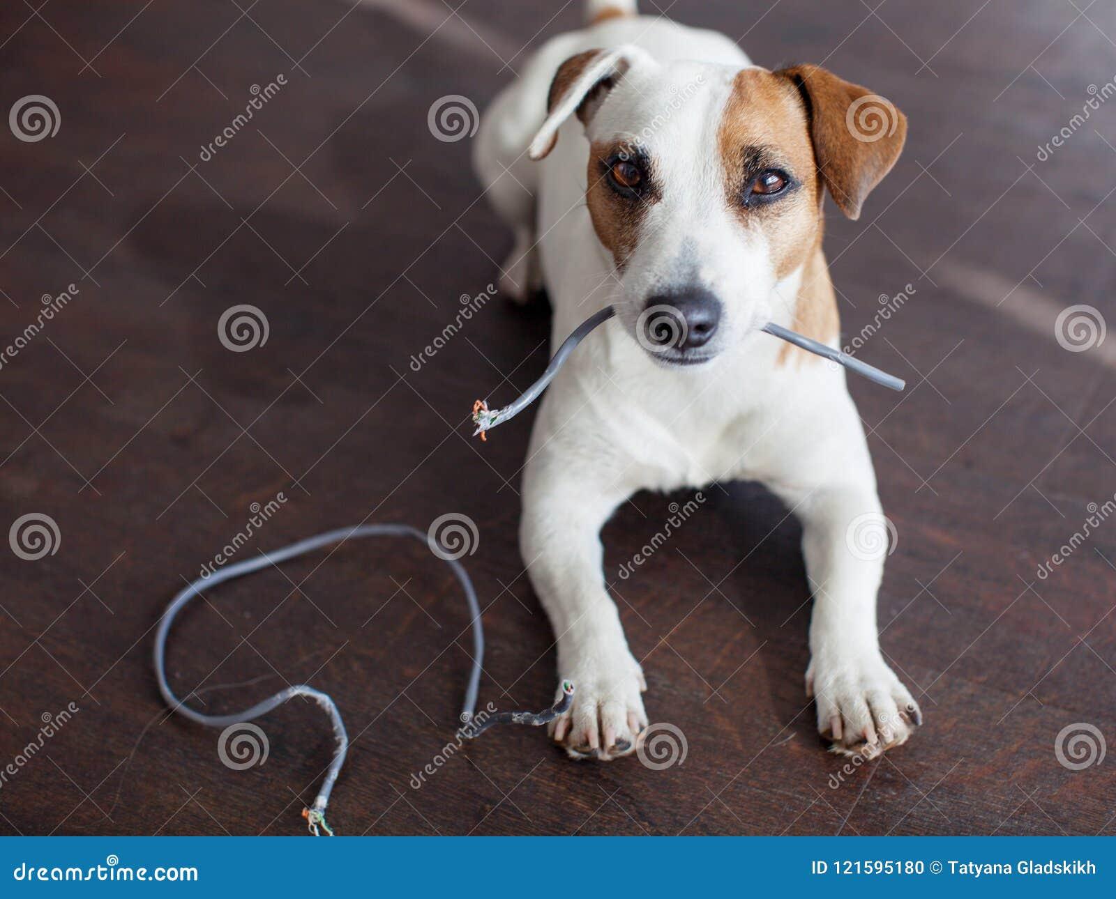 狗嚼了导线
