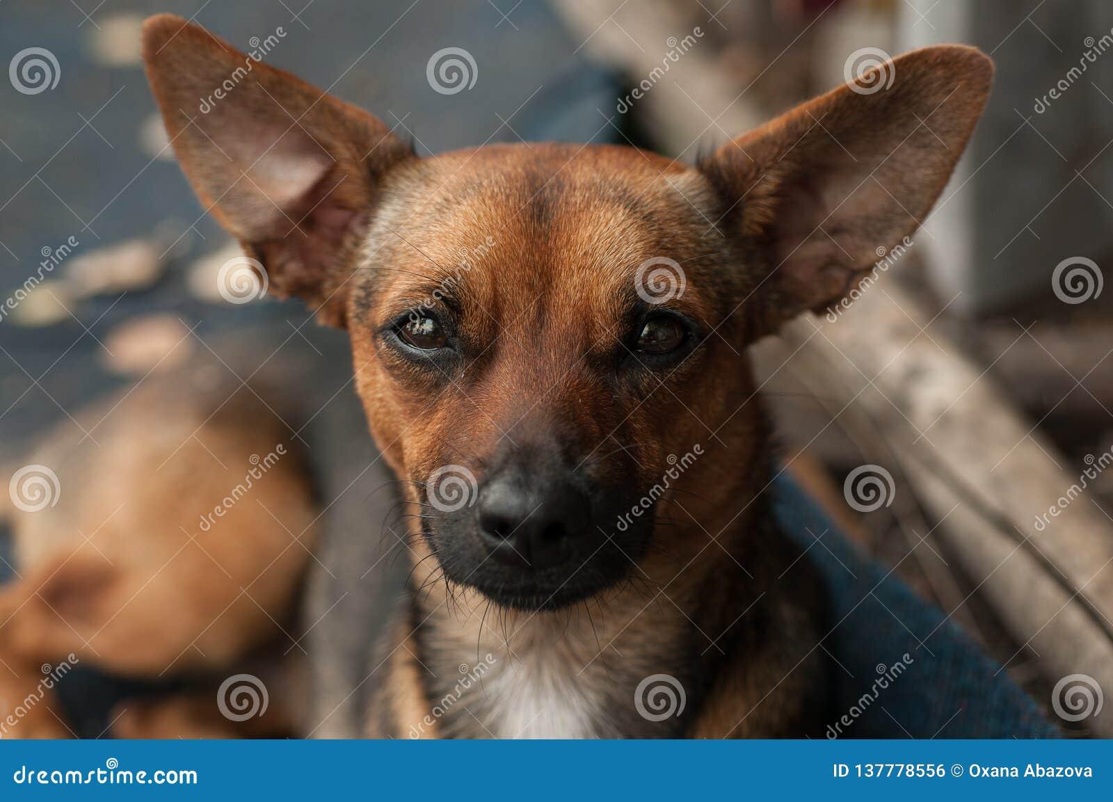 狗在有忠实的眼睛的透镜正确地看