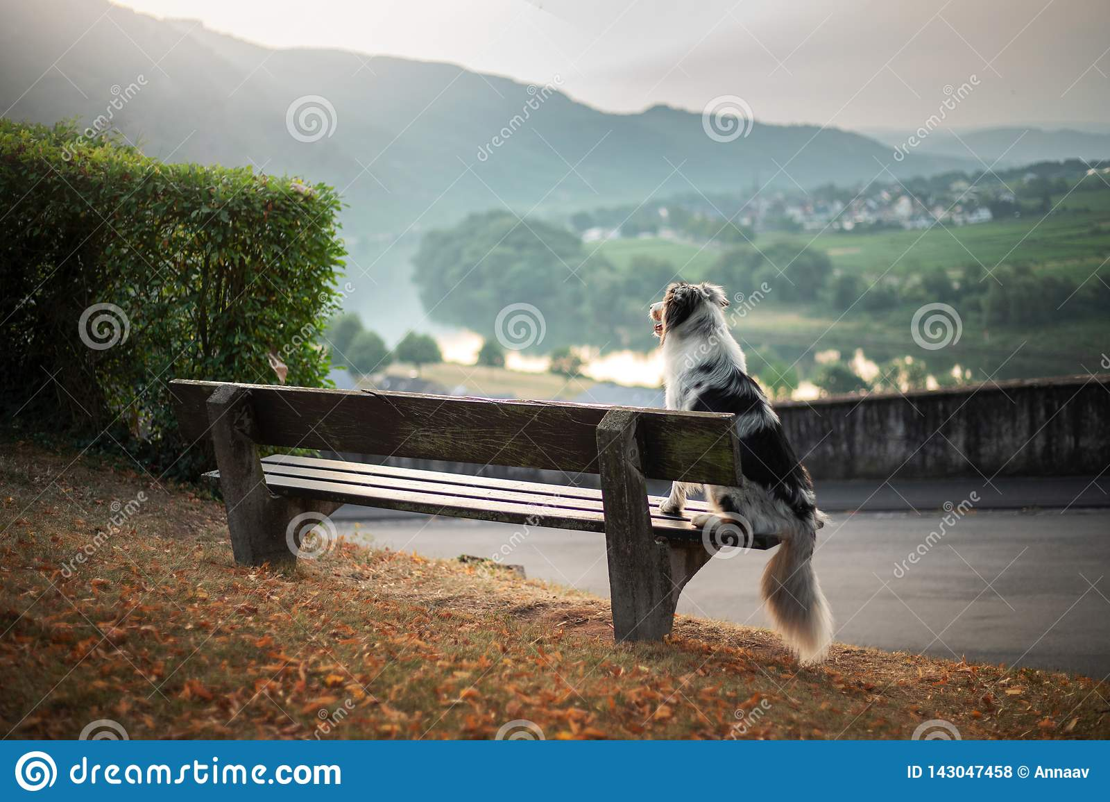 狗坐长凳和神色在黎明 大理石澳大利亚牧羊人本质上 结构