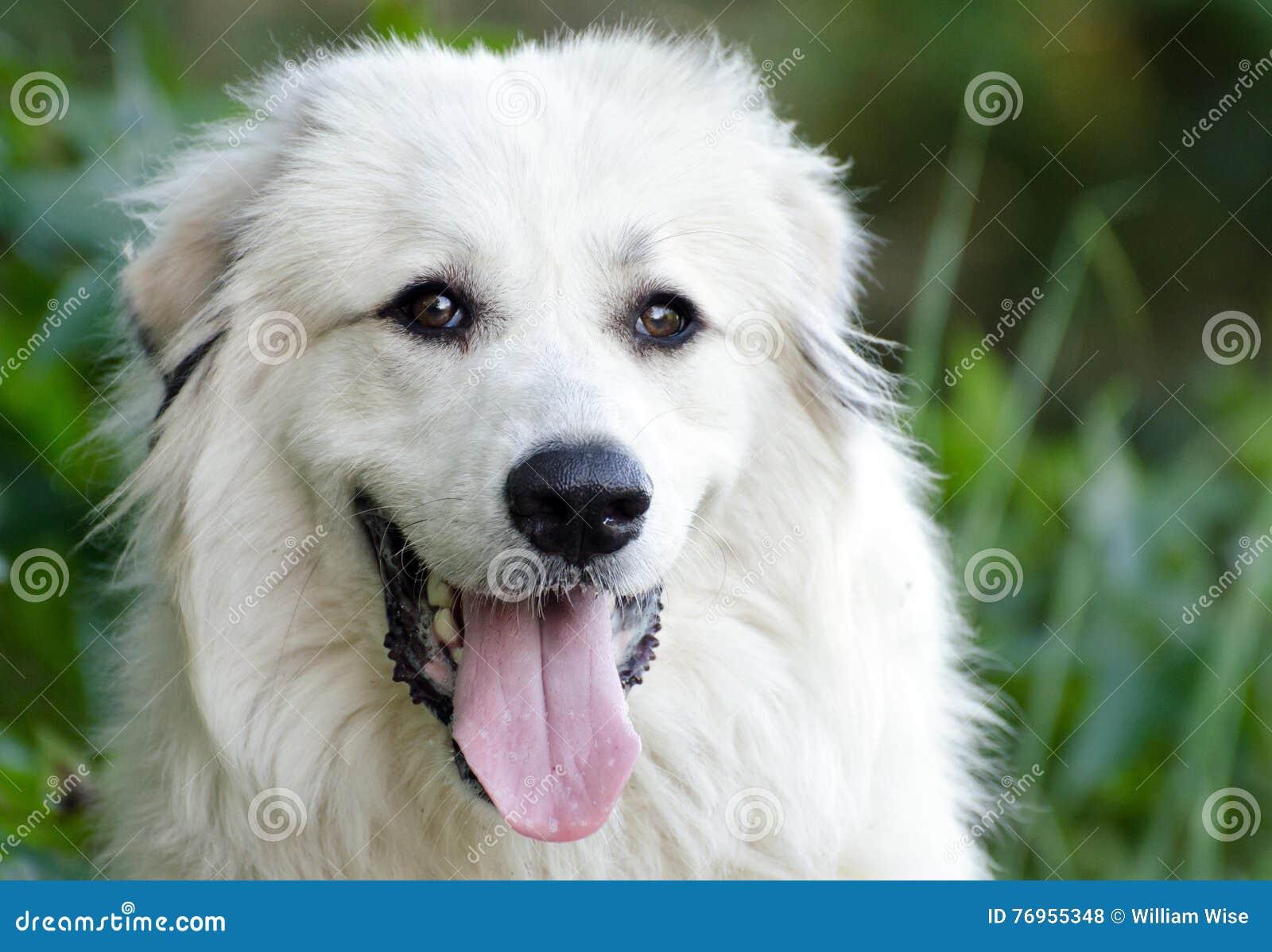 狗大比利牛斯