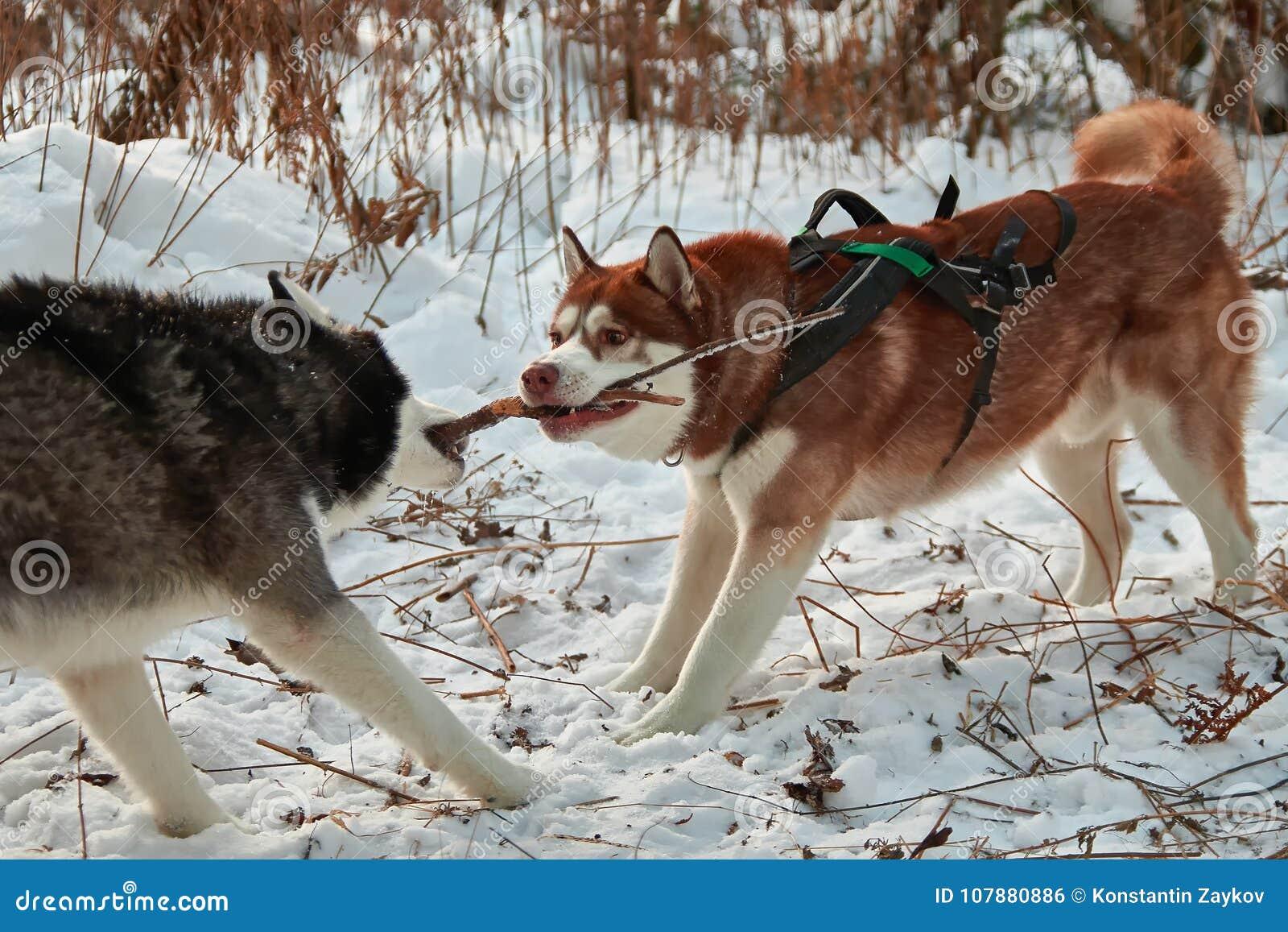狗戏剧用棍子,