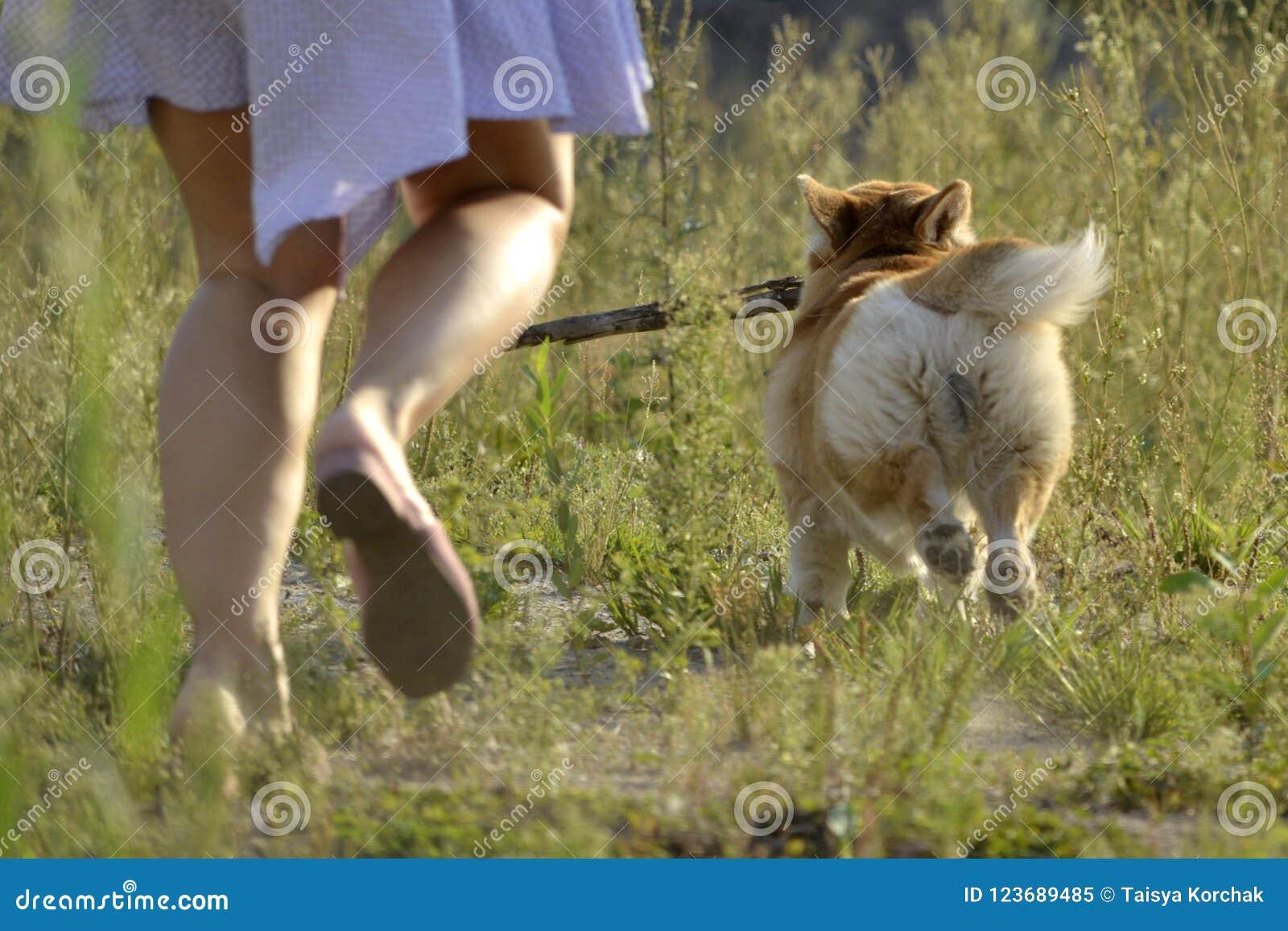 狗执行所有者的命令 小狗彭布罗克角