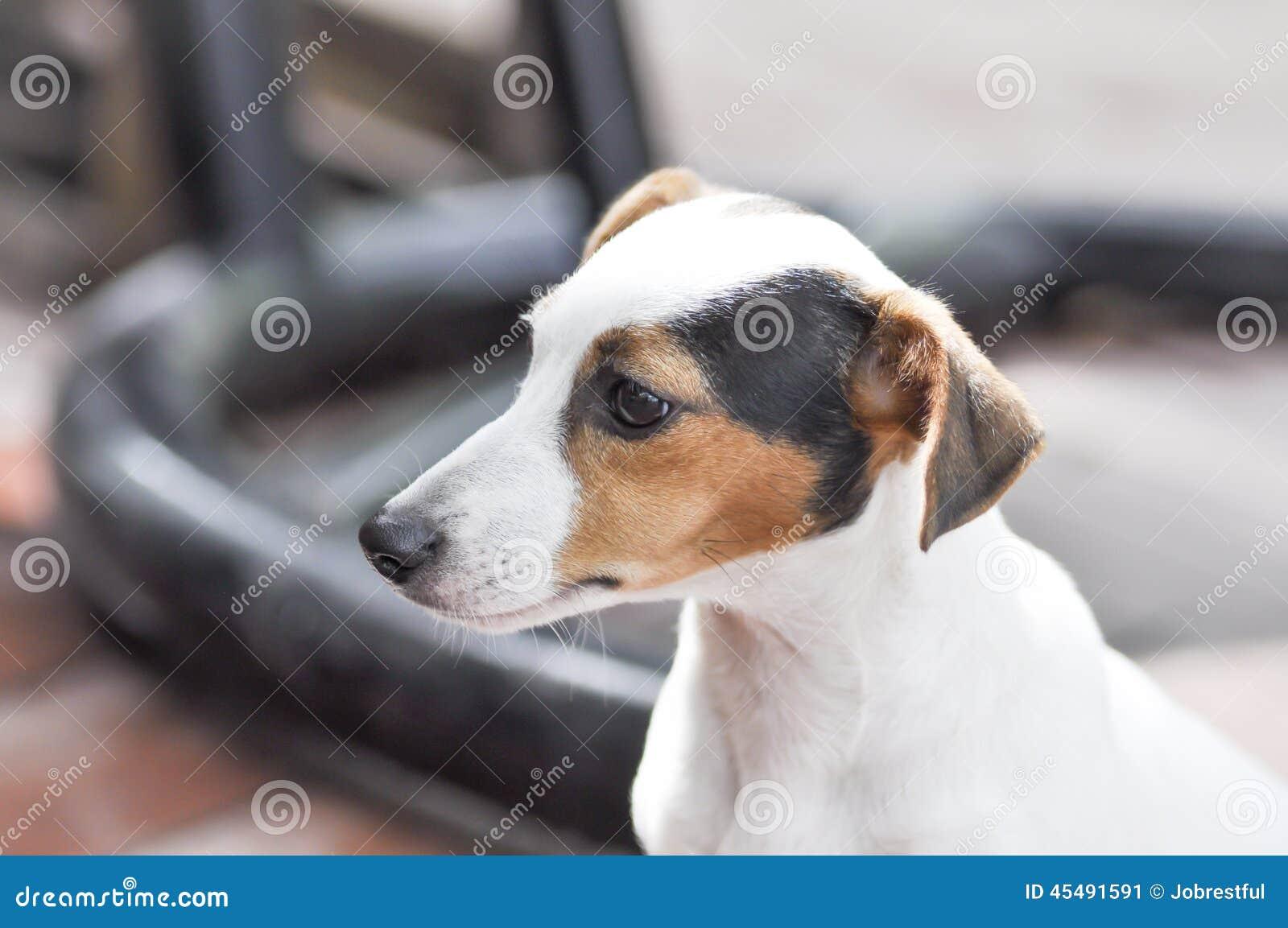 狗插孔罗素