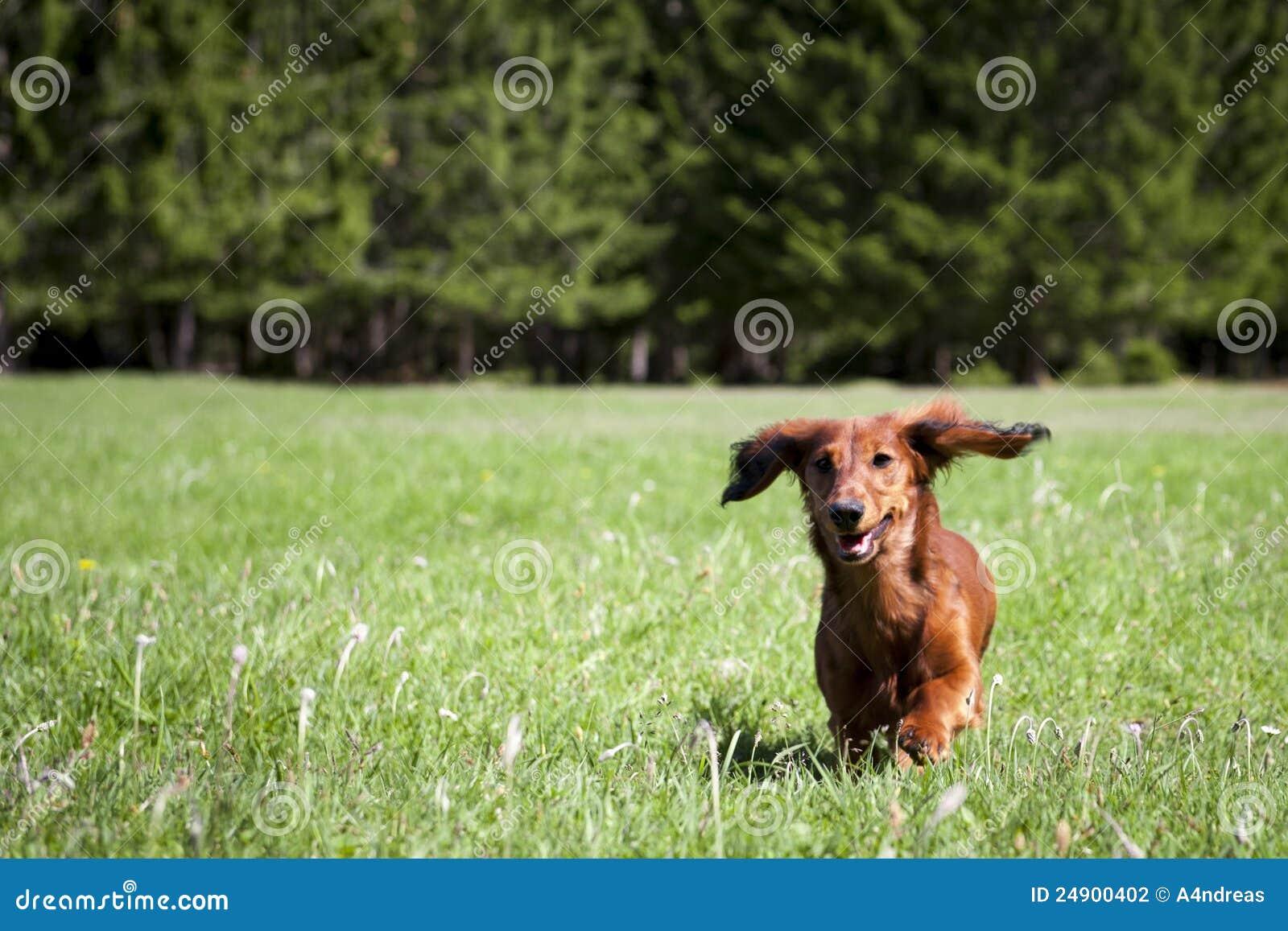狗新草绿色运行香肠往年轻人