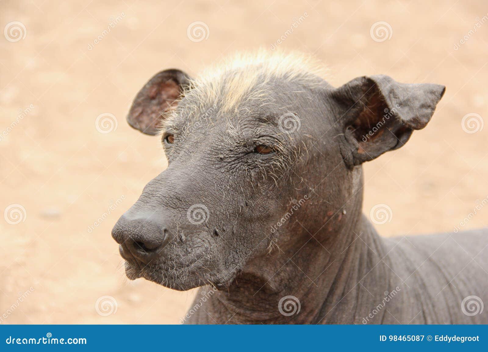 狗无毛的秘鲁人