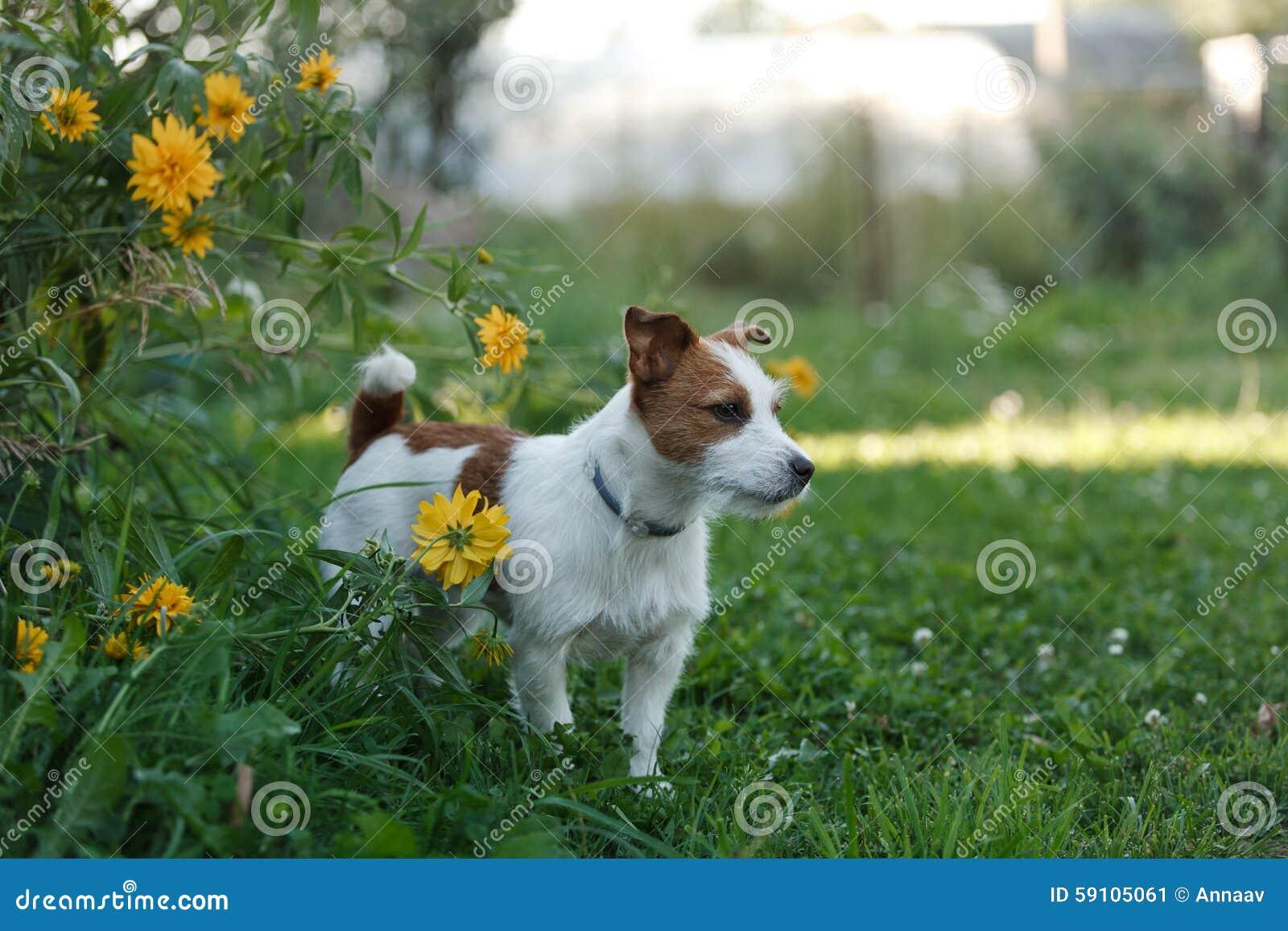 狗杰克罗素狗在自然走