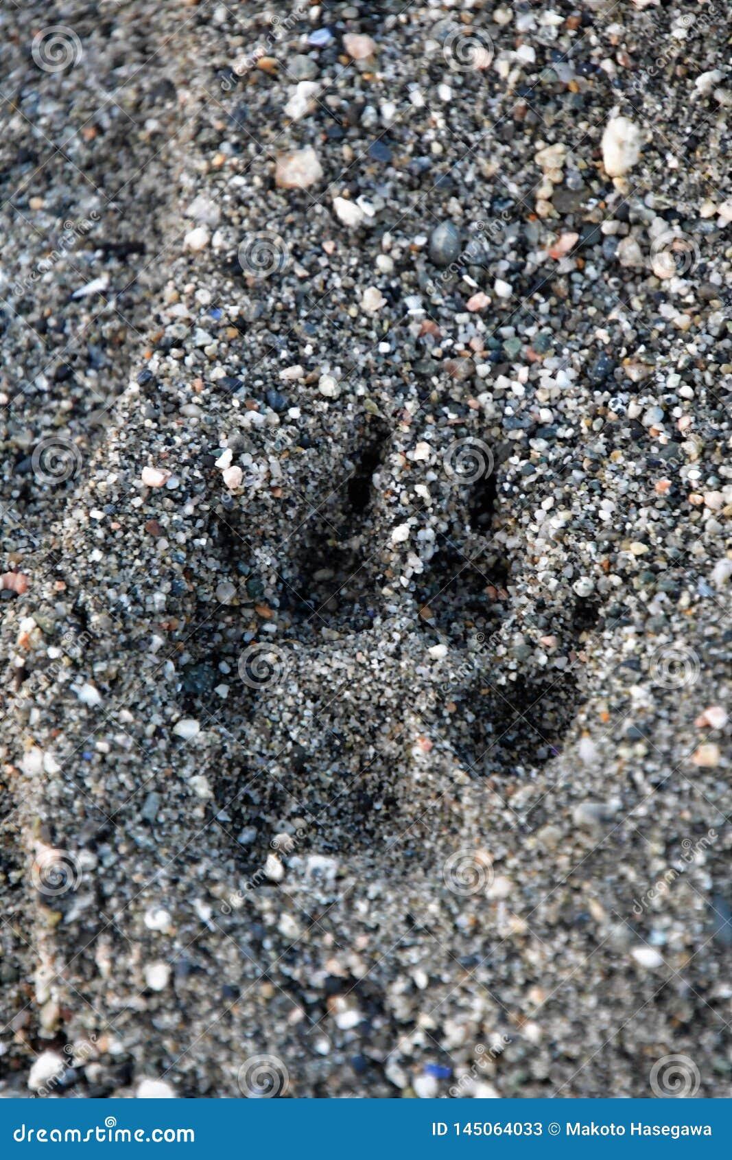 狗爪子印刷品在海滩