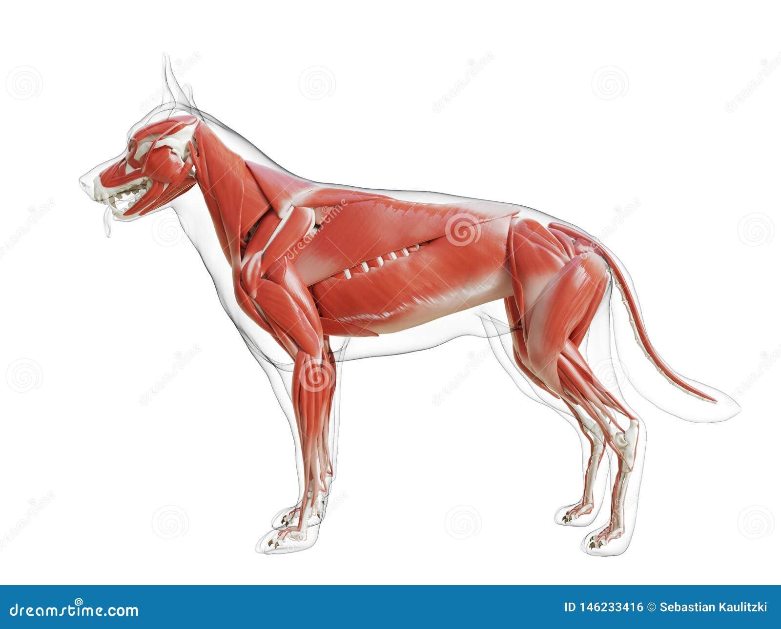 狗肌肉系统
