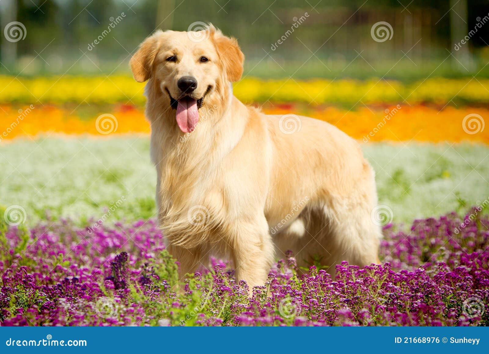 狗金毛猎犬