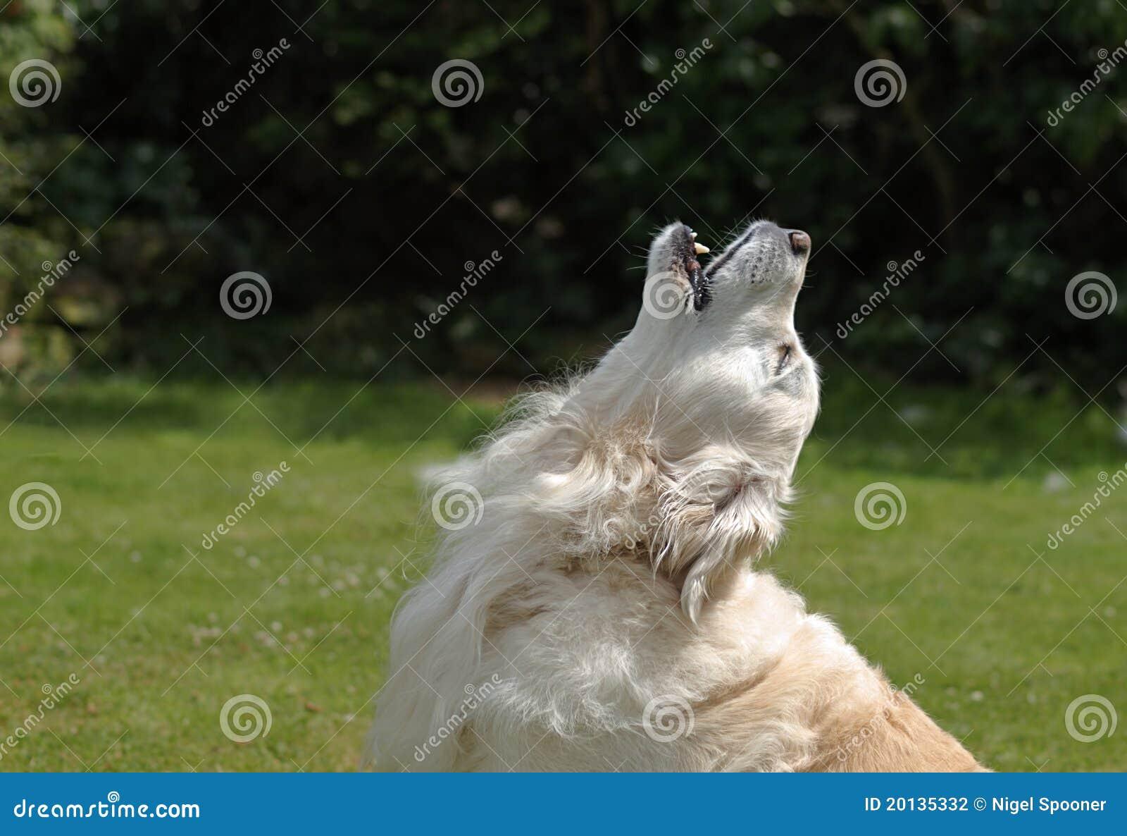 狗金黄嗥叫猎犬