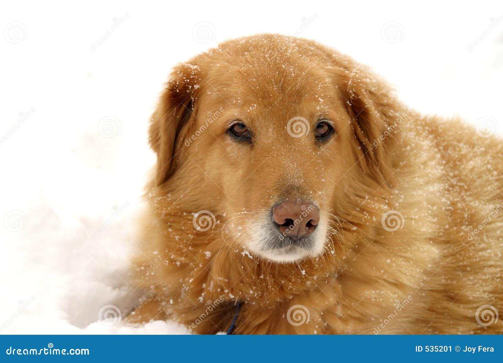Download 狗雪 库存图片. 图片 包括有 活跃, 哀伤, 茴香, 幸运, 笨蛋, 布里曼, 毛皮, 守纪, 朋友, 狩猎 - 535201