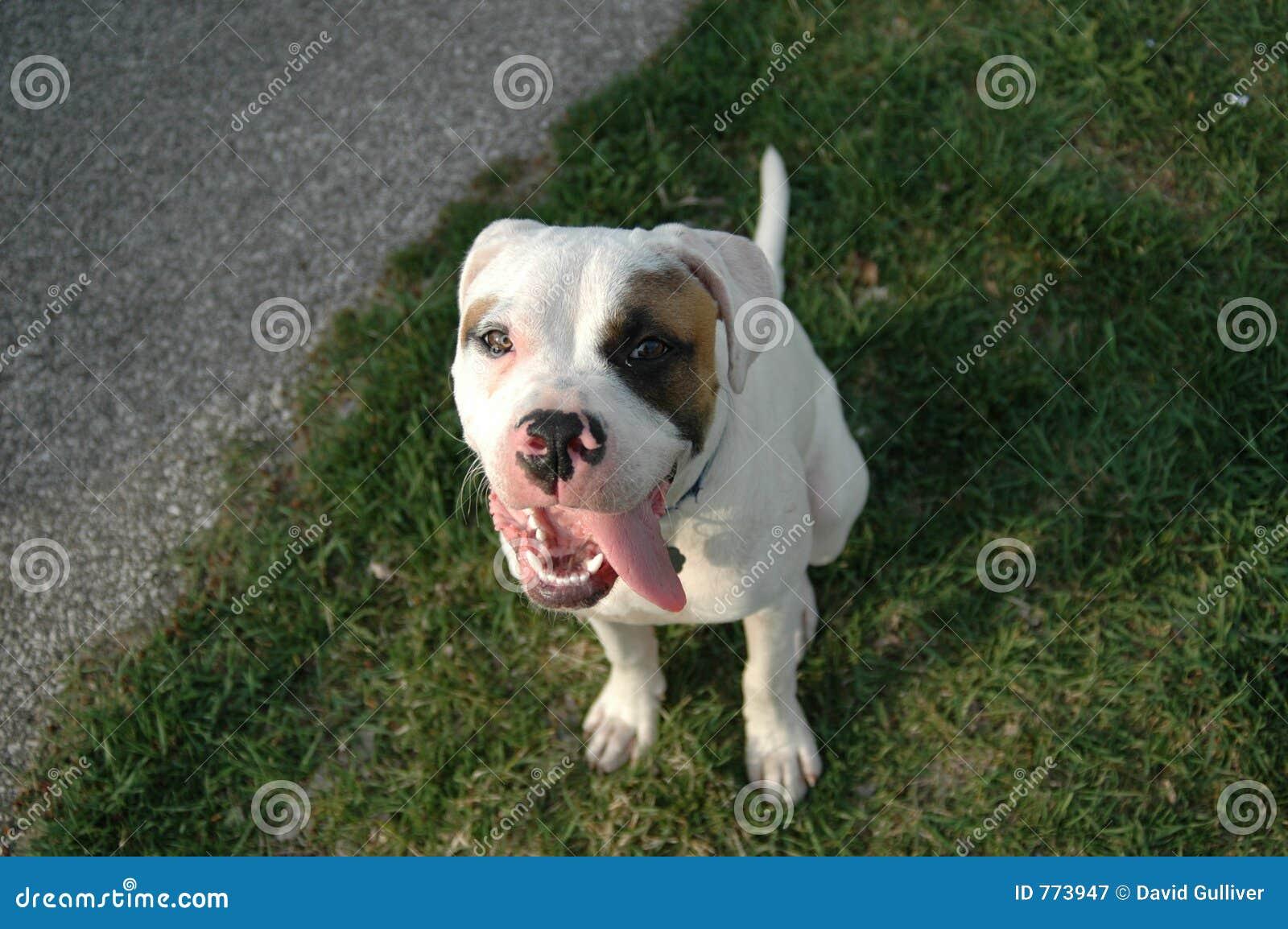 狗面带笑容