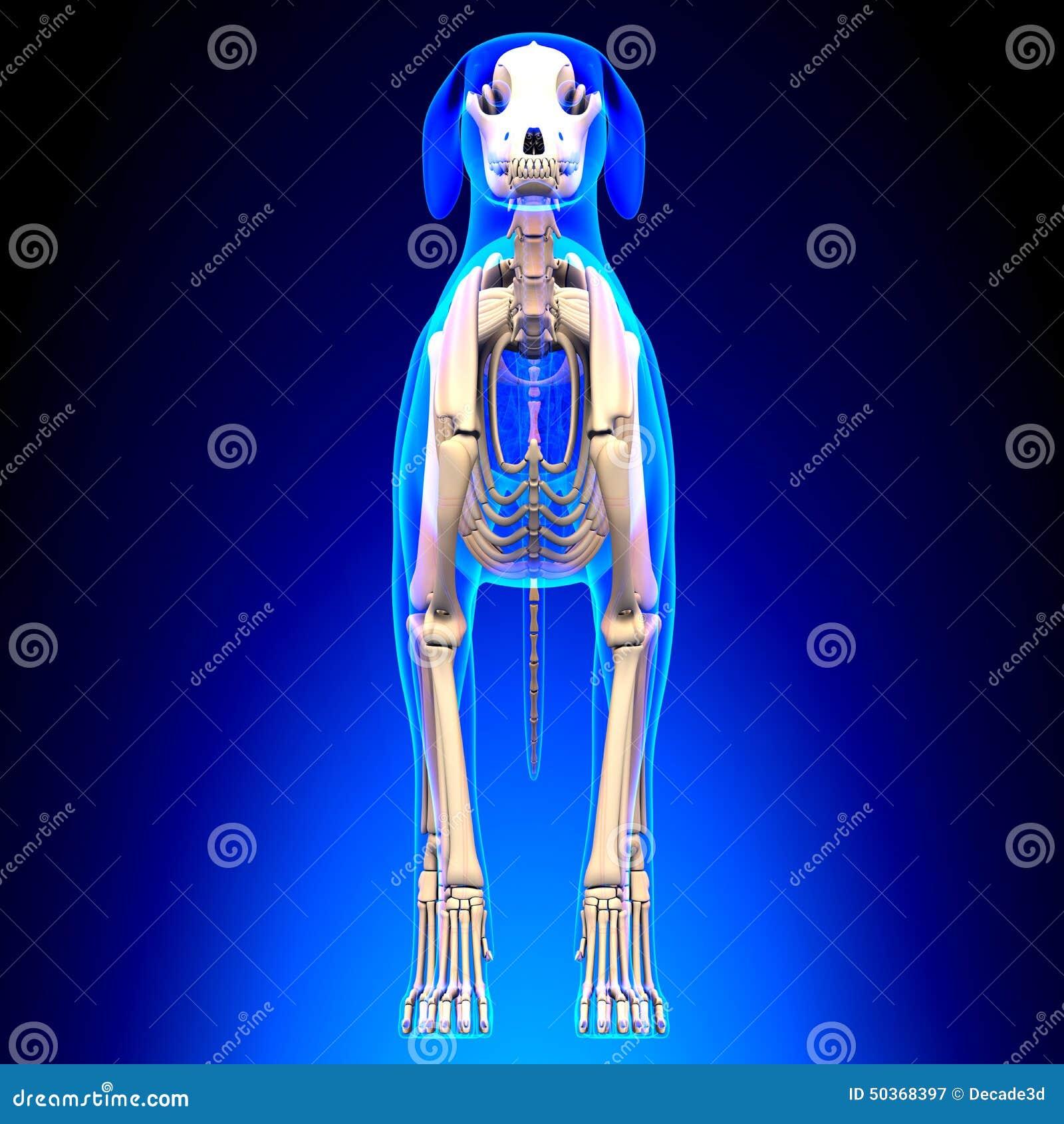 狗骨骼-天狼犬座Familiaris解剖学-正面图