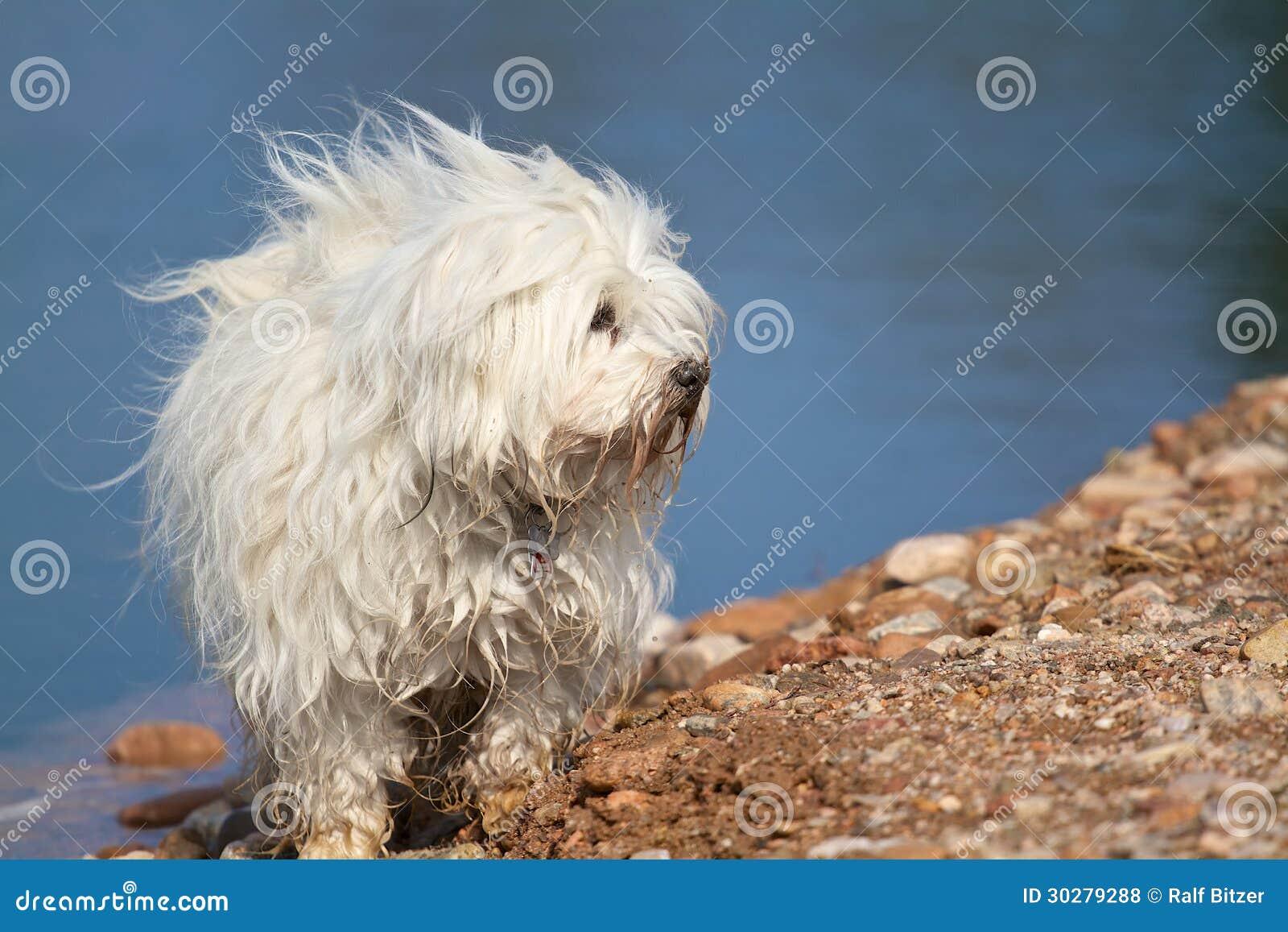 狗- Havanese湖边