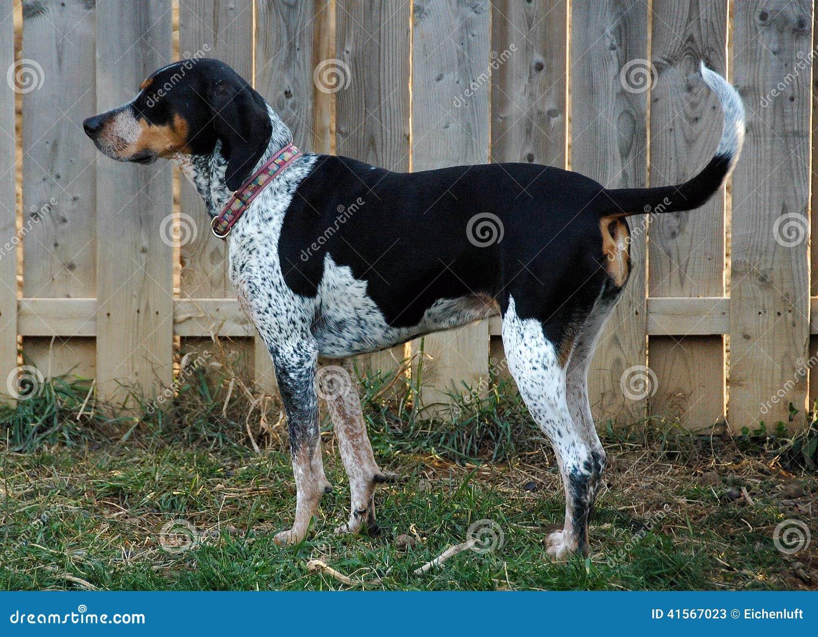 站立bluetick猎浣熊的猎犬画象.