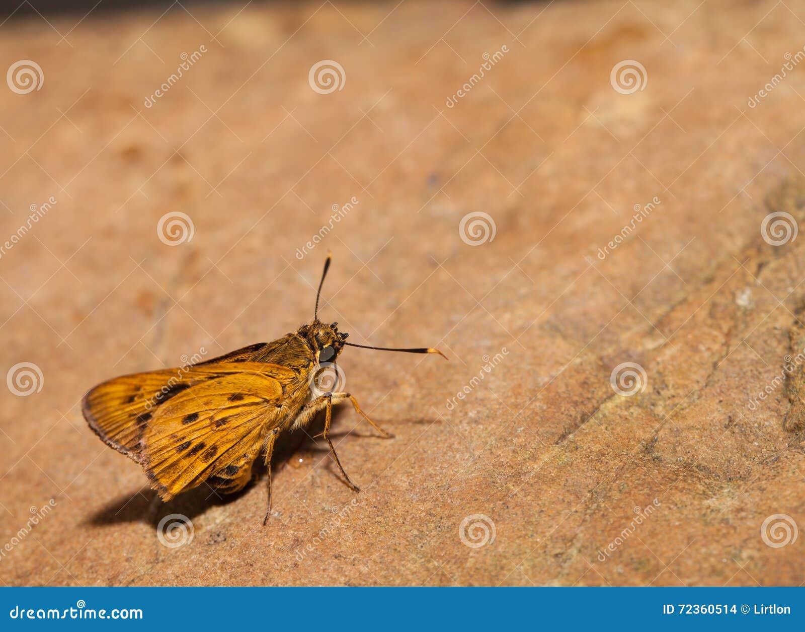 狭窄被烙记的棕榈箭蝴蝶