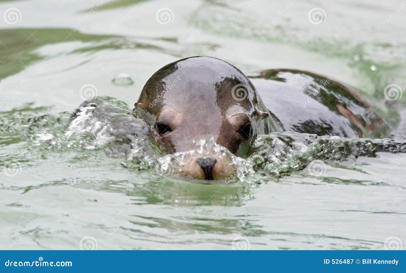 Download 狮子海运游泳 库存图片. 图片 包括有 狮子, 本质, 通配, 密封, 残破, 海运, 鼻子, 敌意, 动物园 - 526487