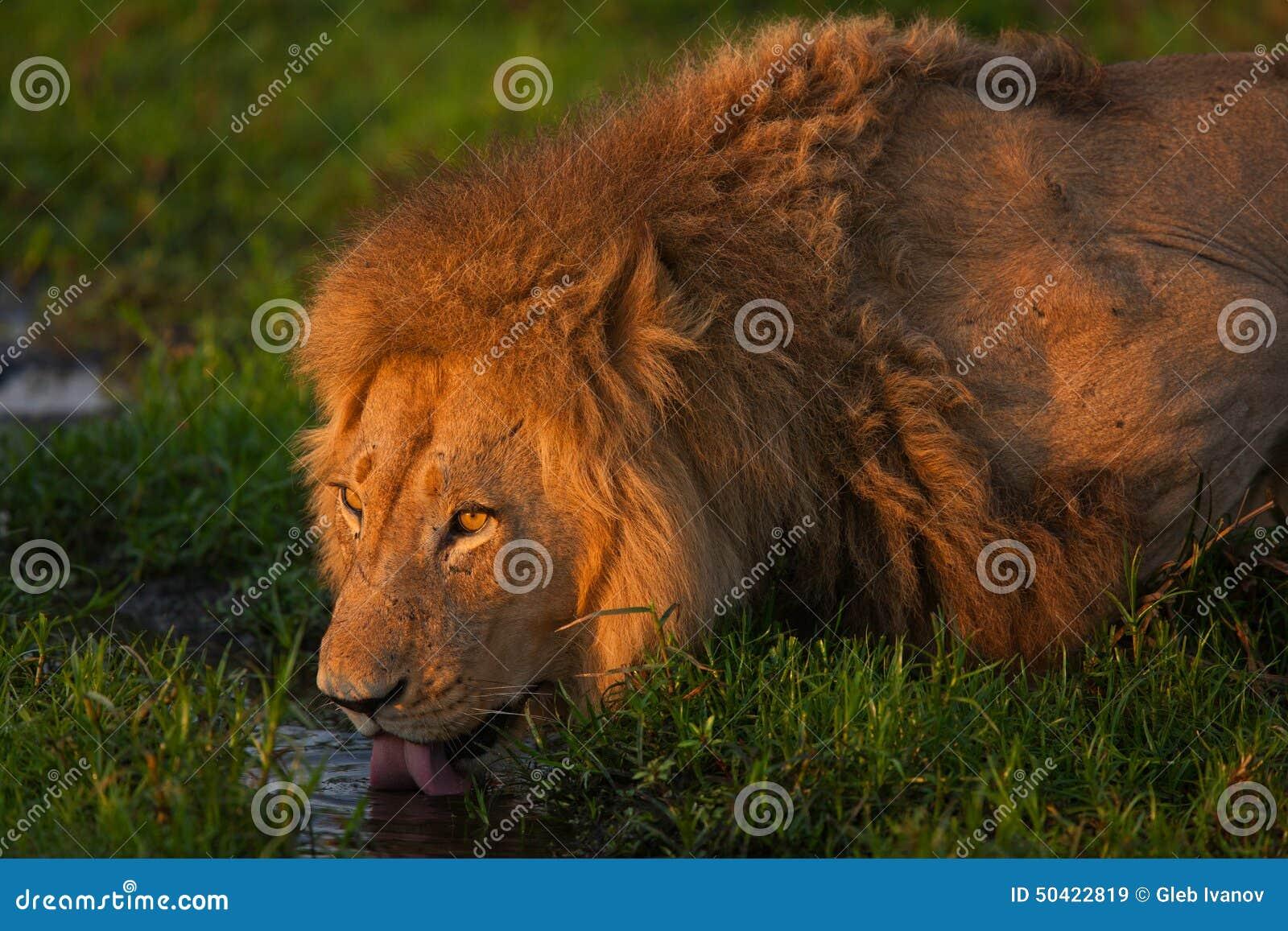 图片狮子照片-蝙蝠:50422819一位邻居家里前几天进了一只库存图片