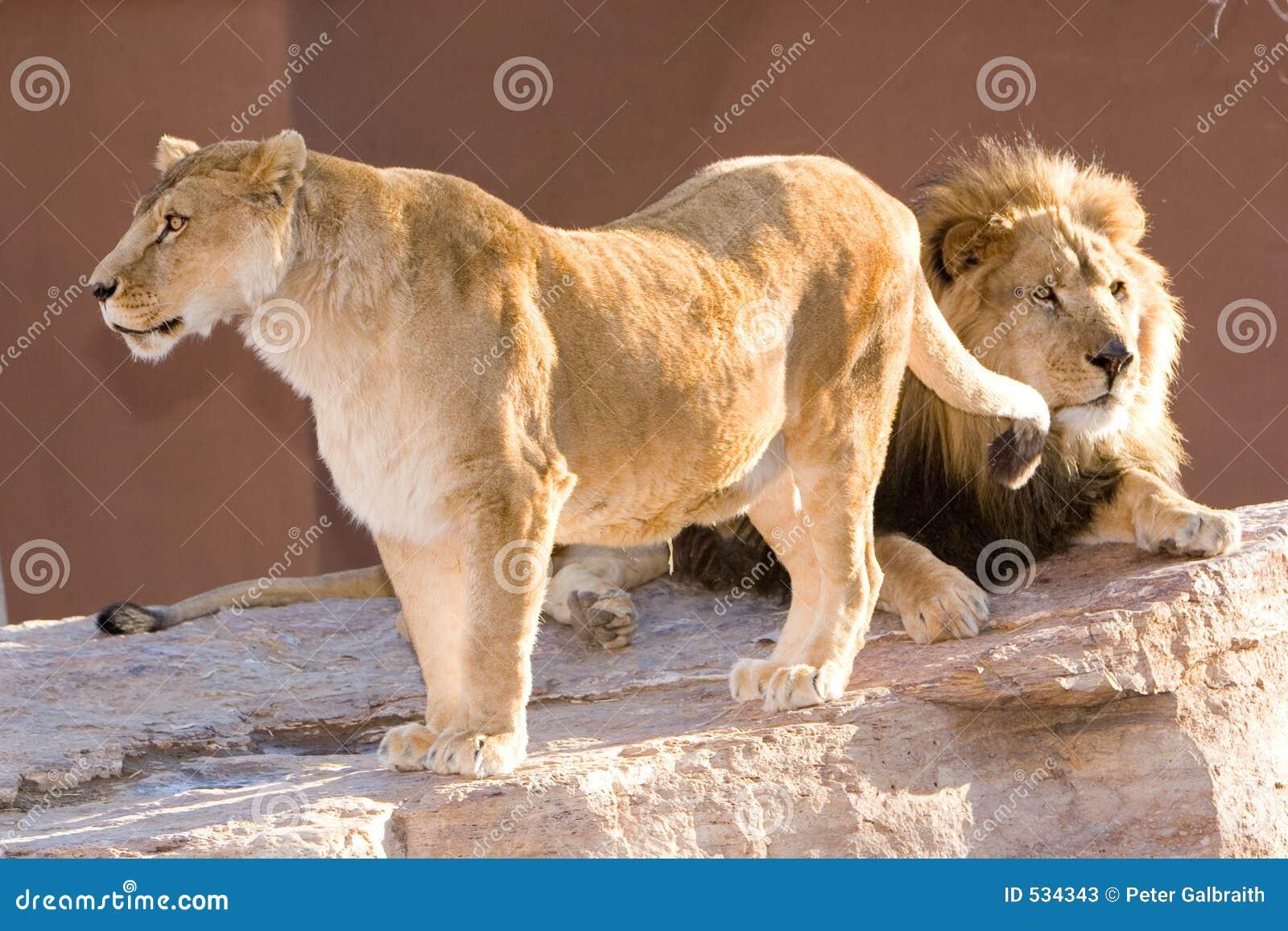 Download 狮子 库存图片. 图片 包括有 呜呜的叫声, 利奥, 闹事, 环境, 徒步旅行队, 野生, 狮子, 树荫, 其它 - 534343