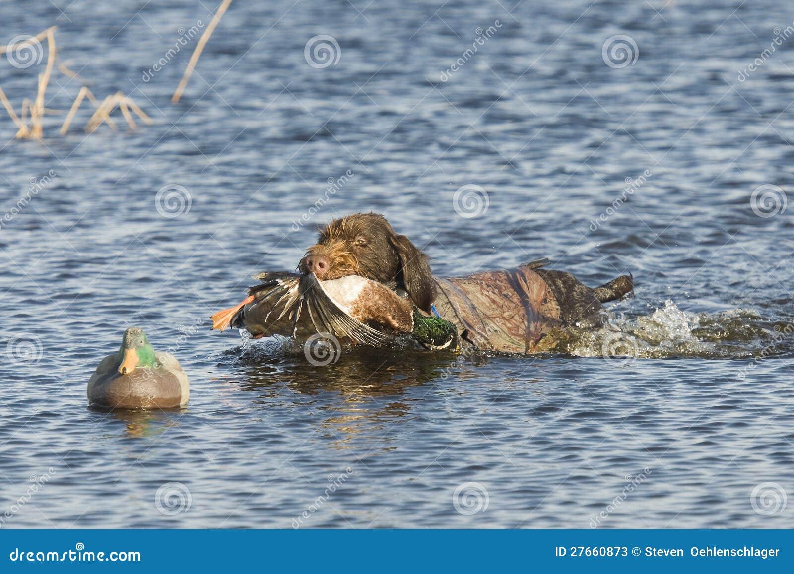 猎犬在水中