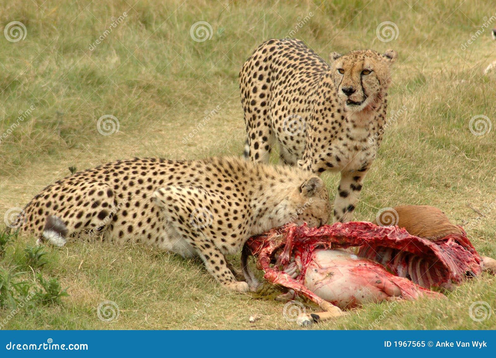 猎豹牺牲者