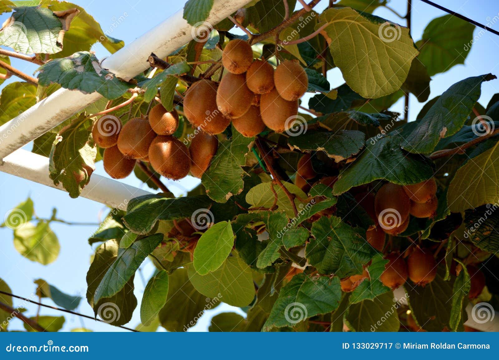猕猴桃或猕猴桃