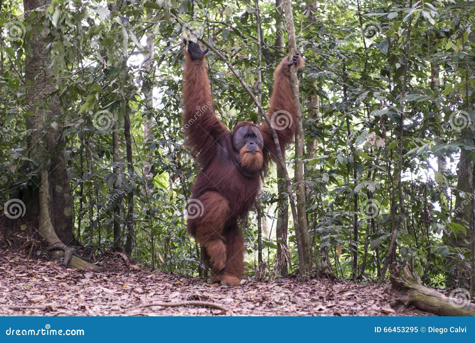 猩猩在密林 苏门答腊