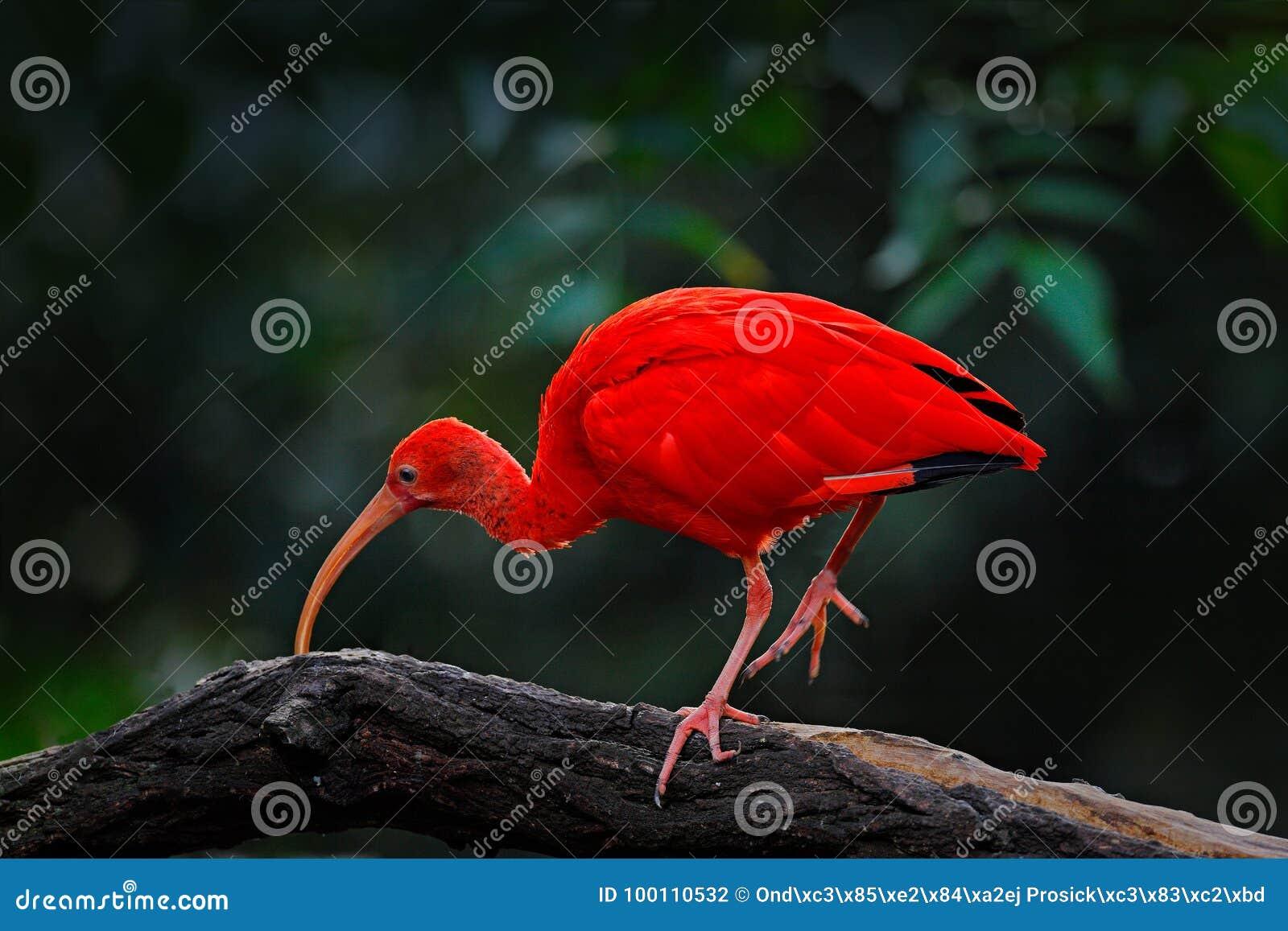 猩红色朱鹭, Eudocimus ruber,异乎寻常的鸟在自然栖所,鸟坐与晚上太阳光的树枝,在sunse期间