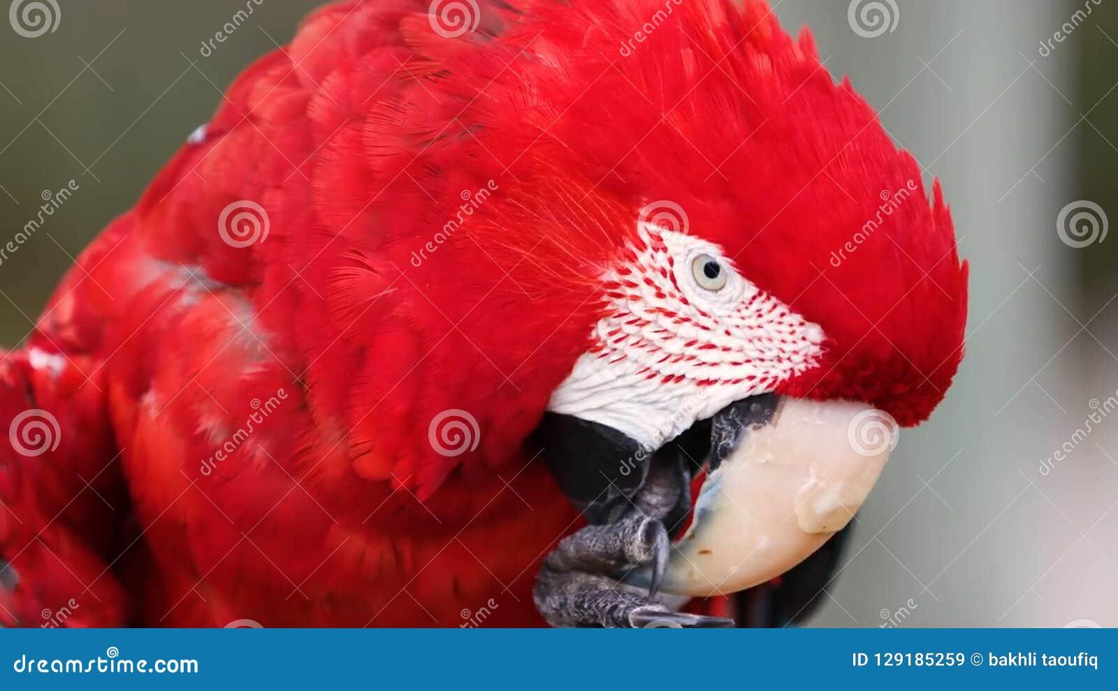 猩红色金刚鹦鹉鹦鹉鸟 异乎寻常,绿色