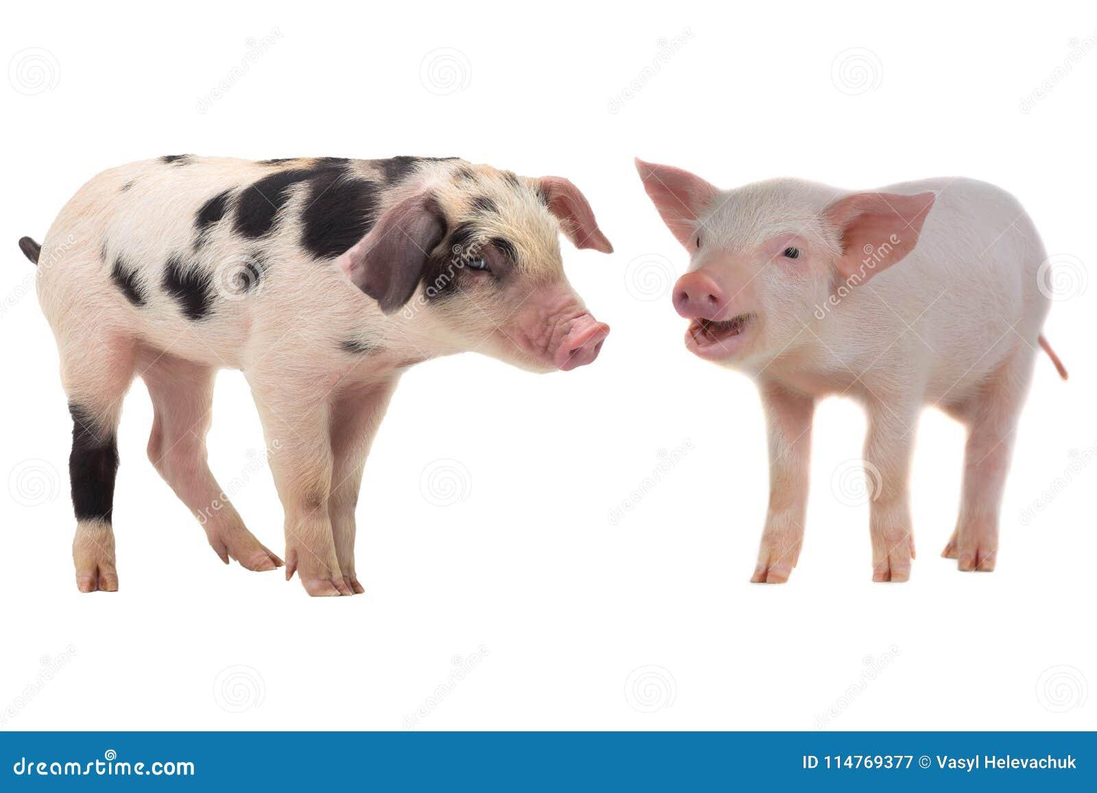 图片 包括有 母猪, 背包, 家畜, 哺乳动物, 通配, 空白, 没人, 农场图片