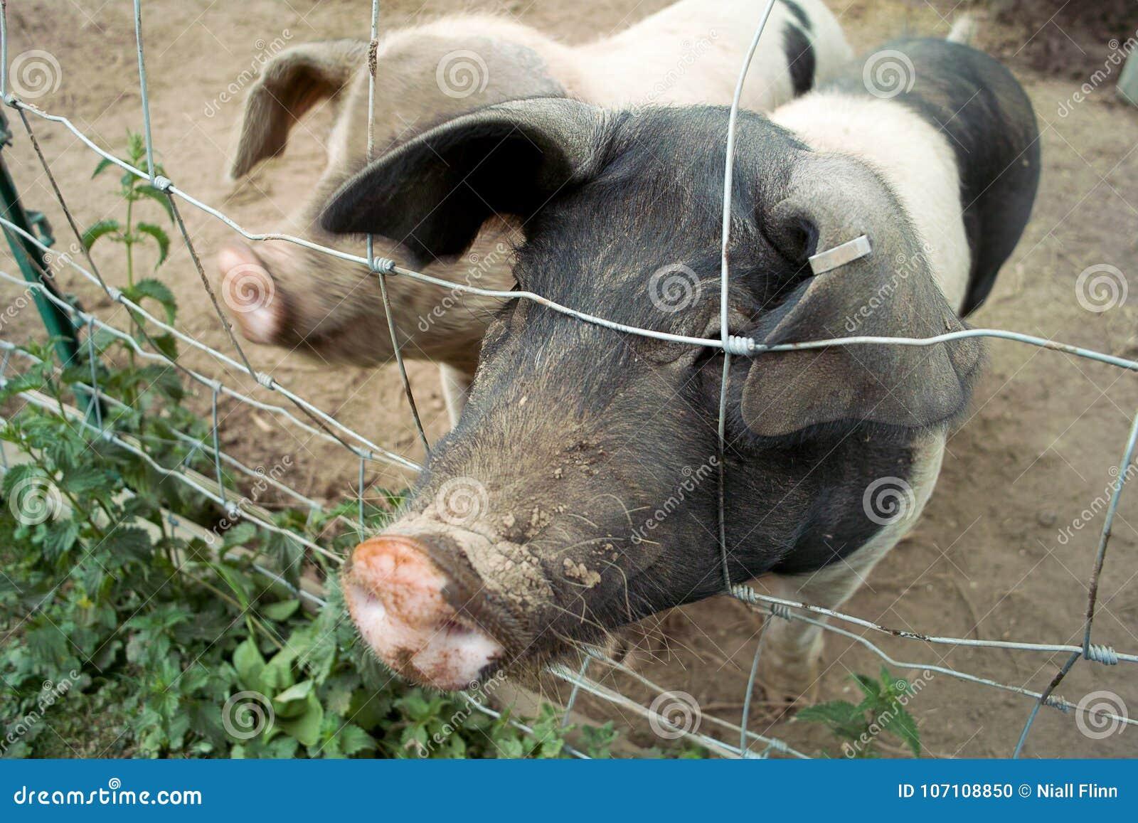 猪口鼻部和篱芭
