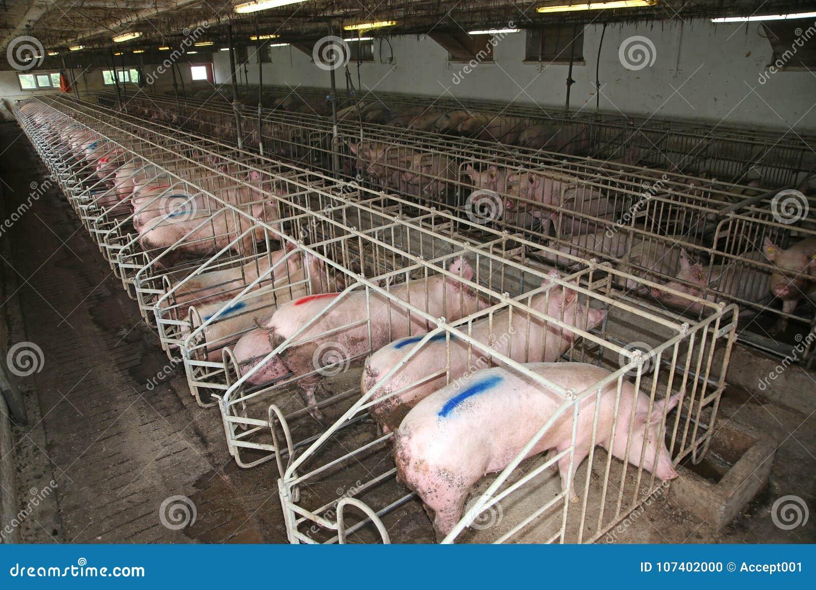 猪母猪在金属笼子放置在一个工业动物农场