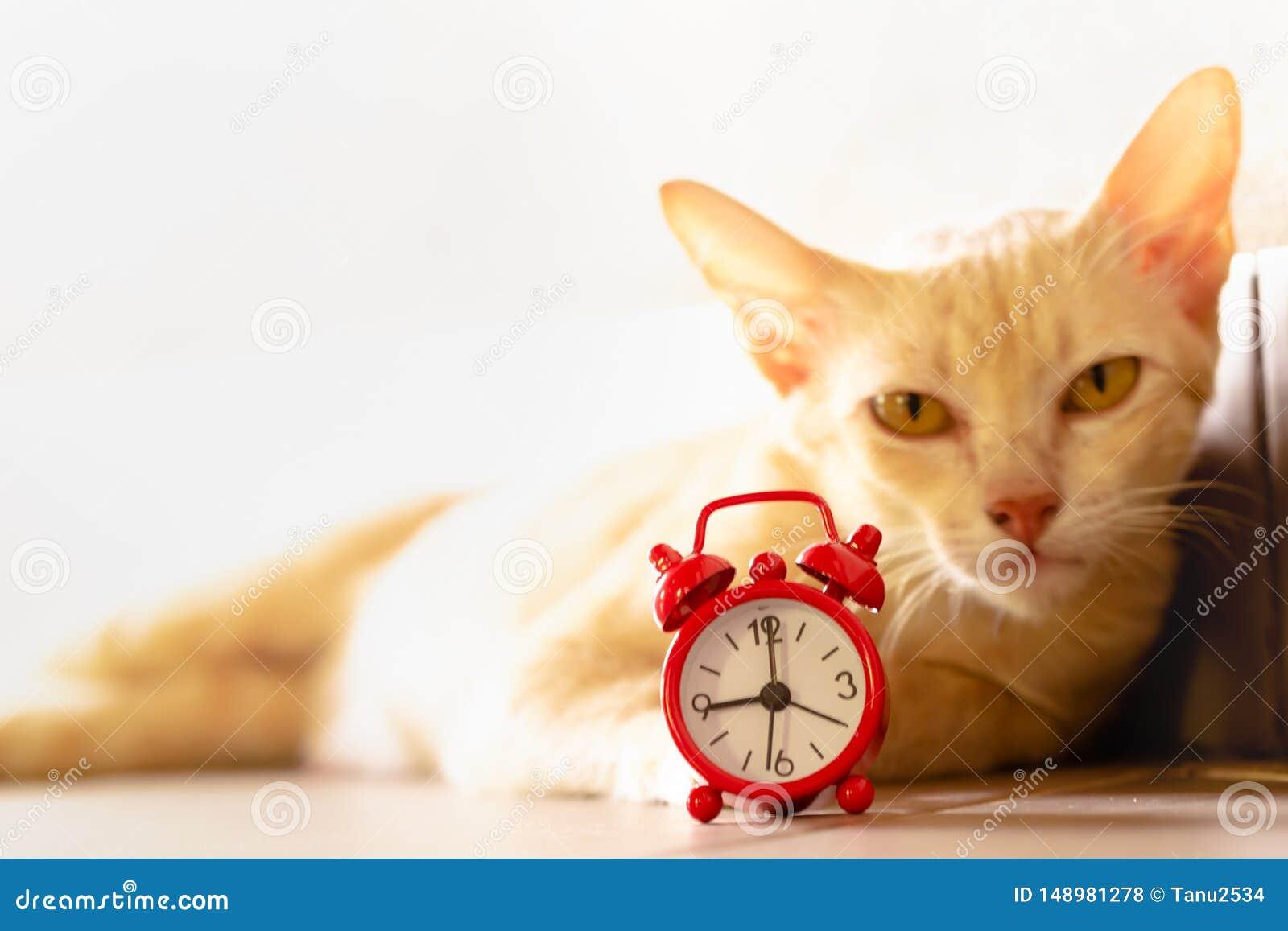 猫和红色闹钟