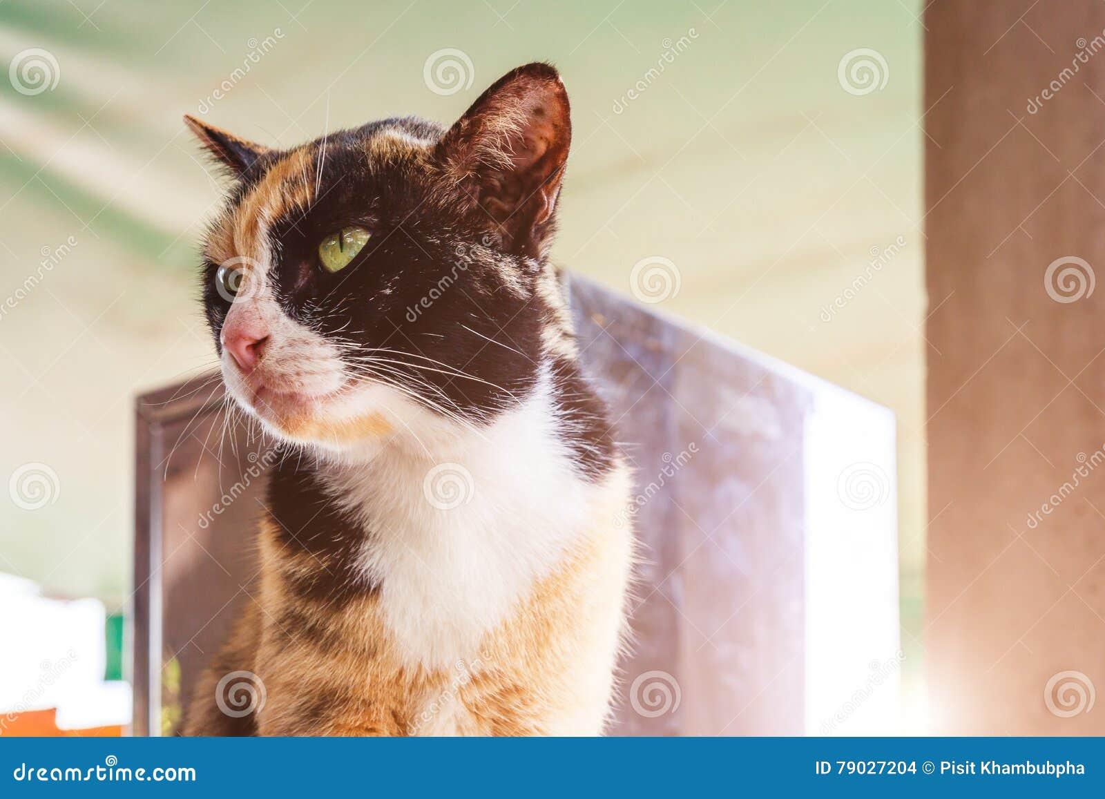 猫坐 绿眼的猫画象 在太阳光下的全部赌注猫