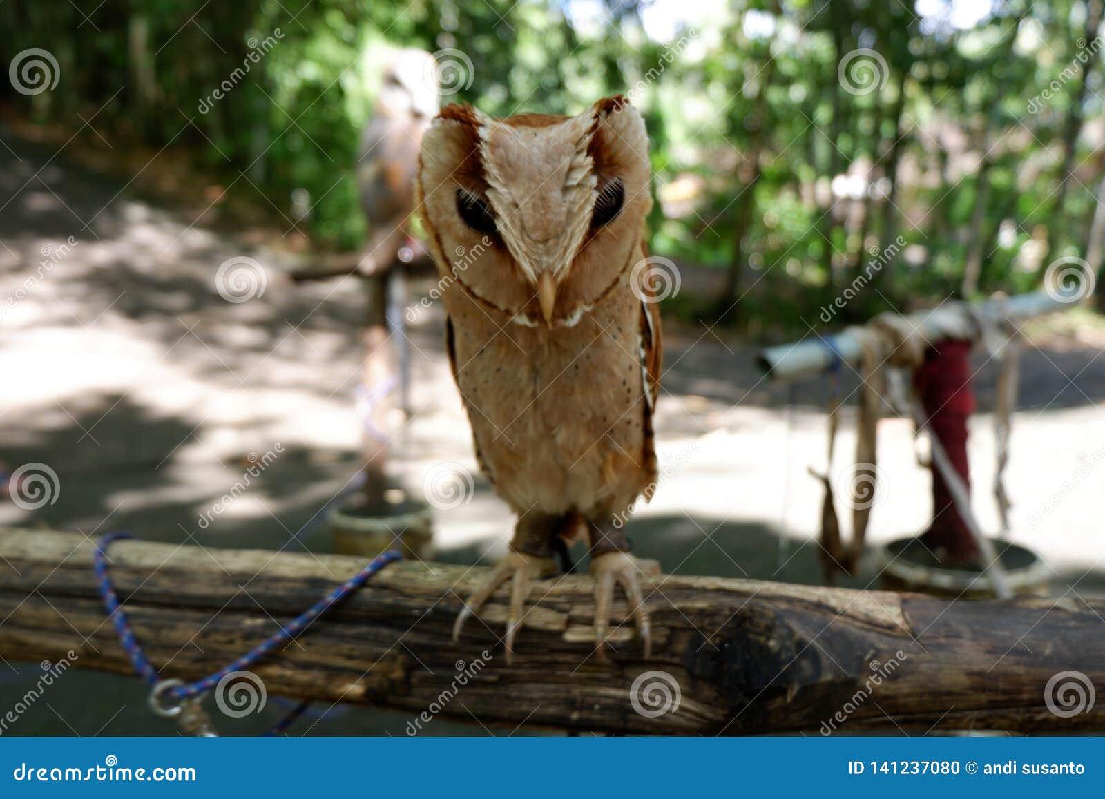 猫头鹰是罕见的与在狂放居住的美丽的眼睛
