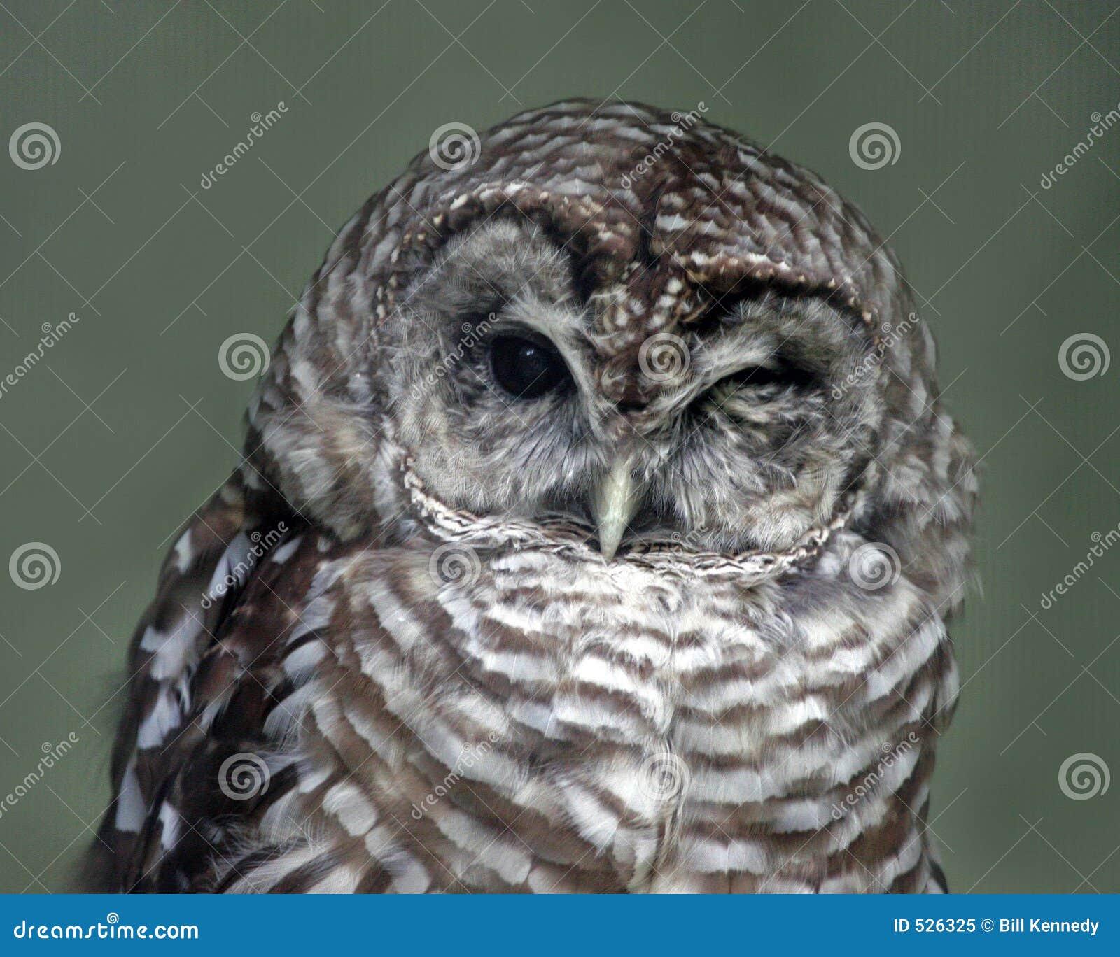 Download 猫头鹰闪光 库存图片. 图片 包括有 公开承认, 避免, 动物园, 察觉, 本质, 掠食性, 残破, 汽车喇叭声 - 526325