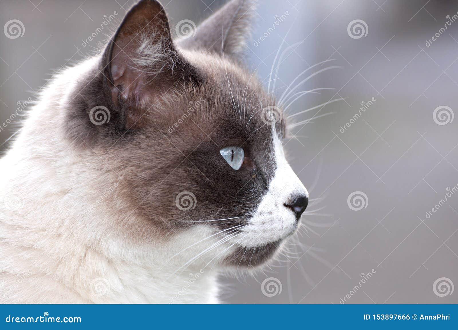 猫的面孔的美好的封印点关闭