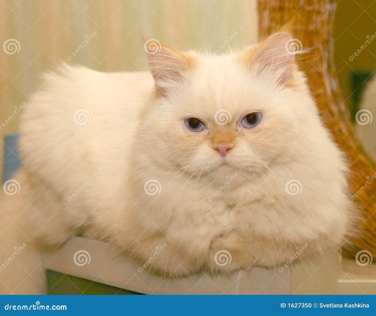 猫蓬松白色