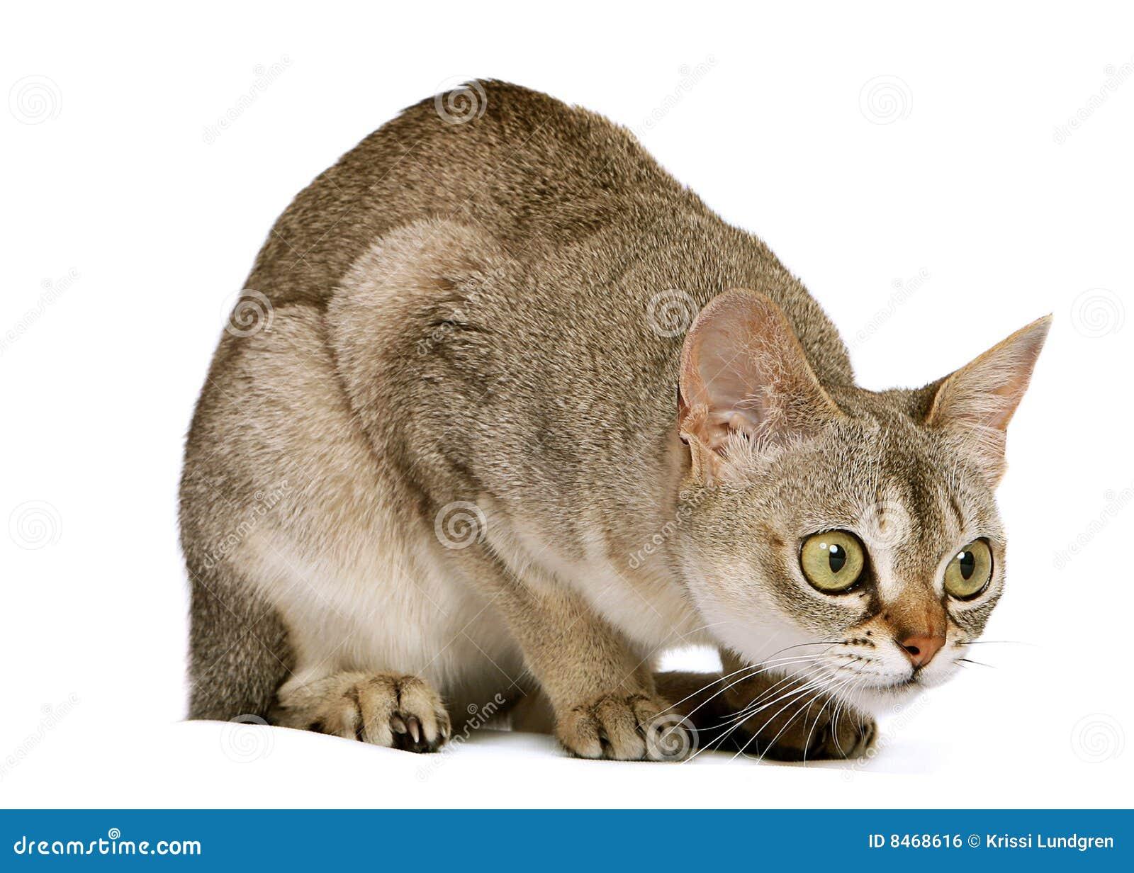猫蹲下的singapura