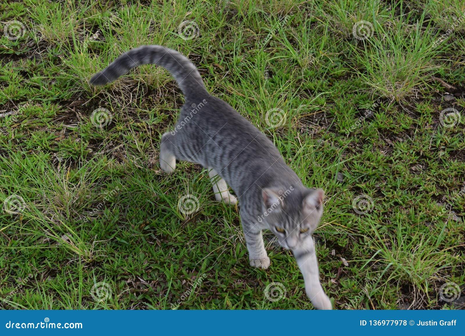 猫通过一个象草的领域漫步