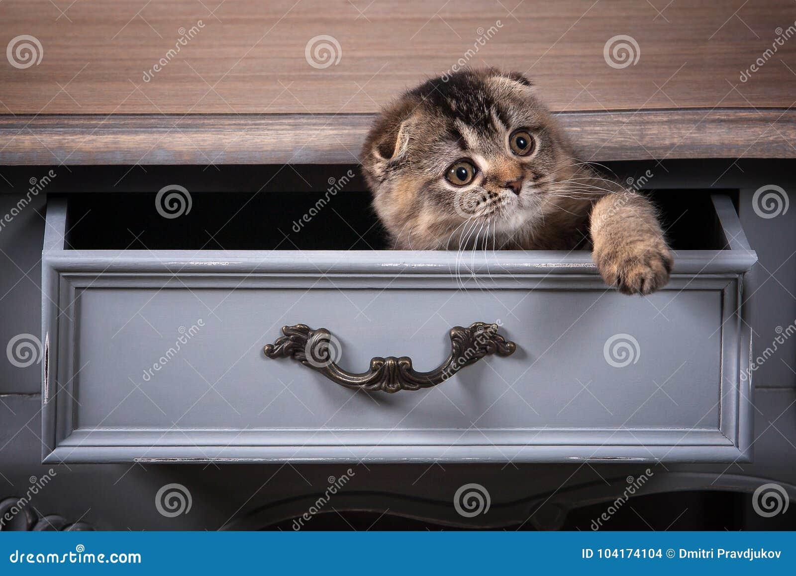 猫 苏格兰人折叠在木桌和织地不很细backgroun上的小猫