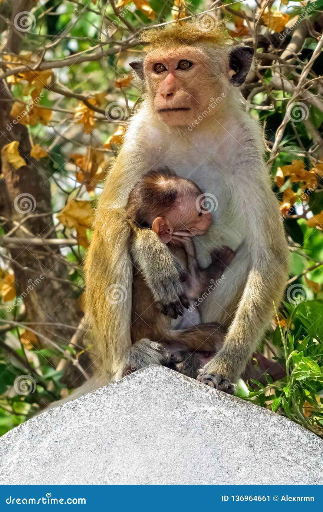 猴子喂养它的孩子